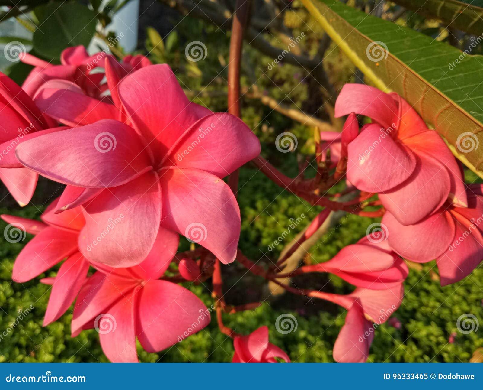 Rote Frangipaniblume mit Grün verlässt in Gebäudekomplex Sidoarjo, Indonesien Pondok Candra
