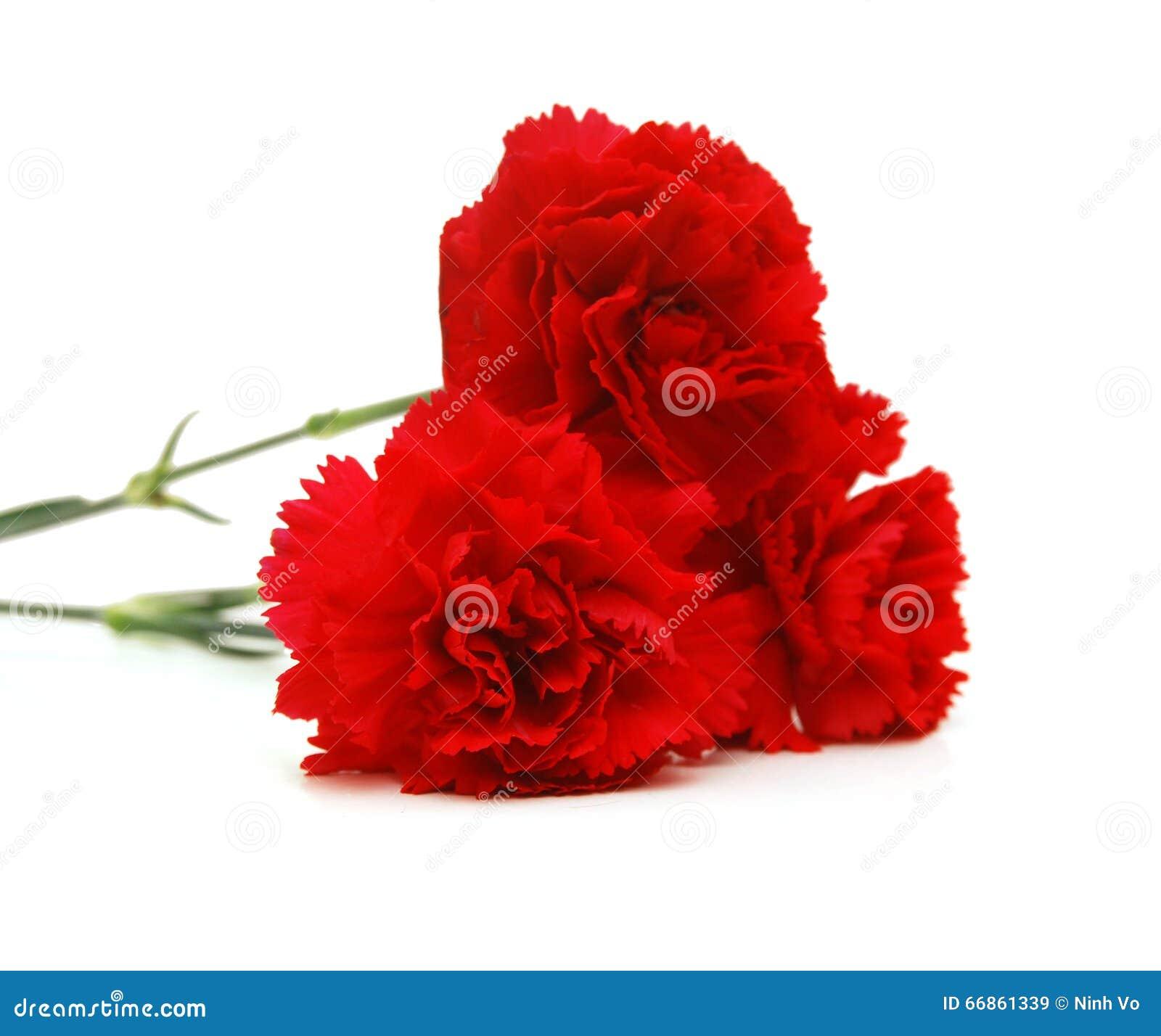 Rote Gartennelke