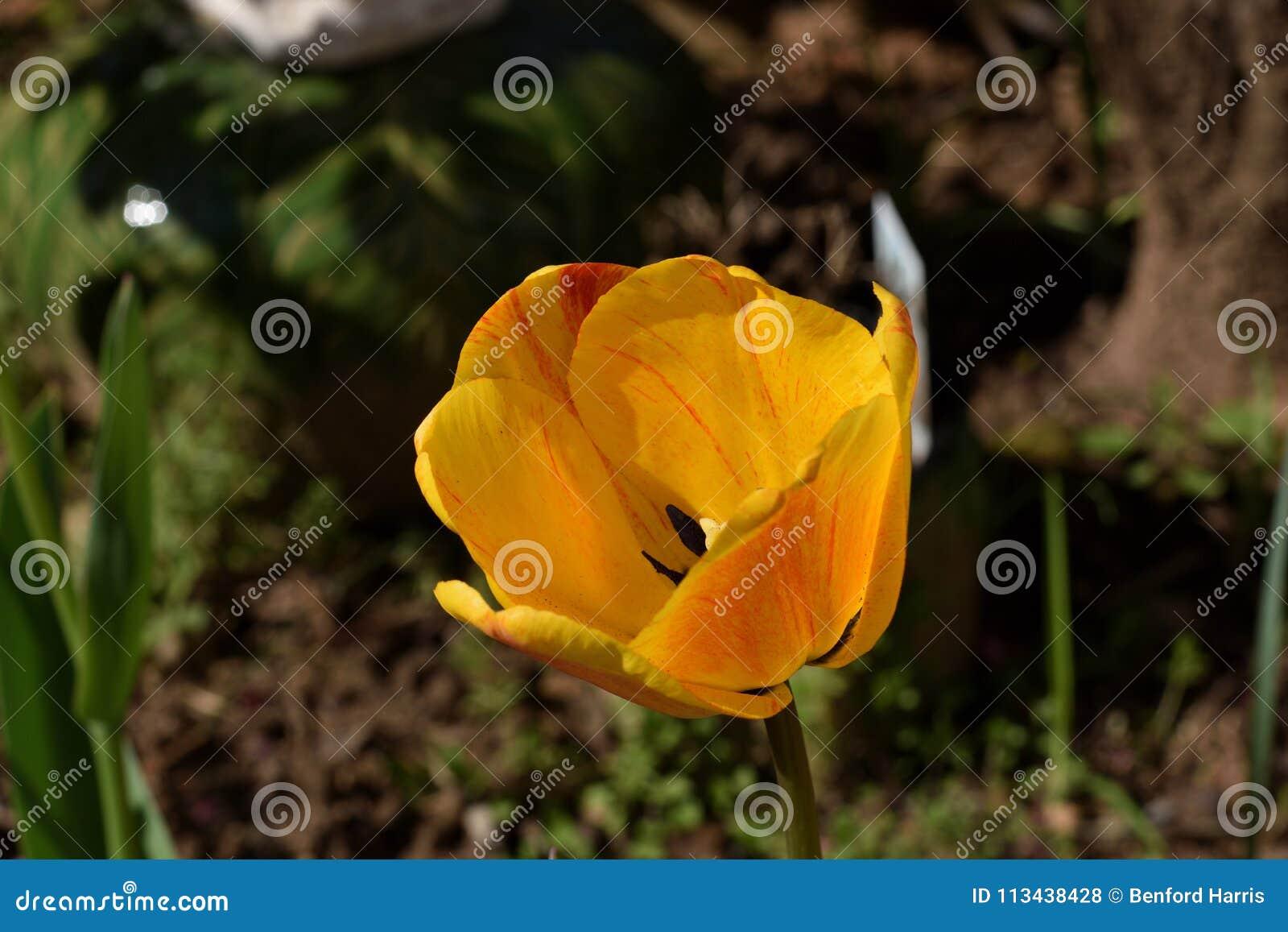 Rote gelb-orangee Tulpe ` orange Zerstampfung ` Varigated