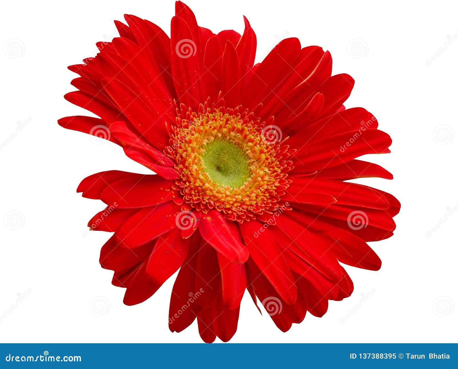 Rote Gerbera-Blume lokalisiert mit png-Format