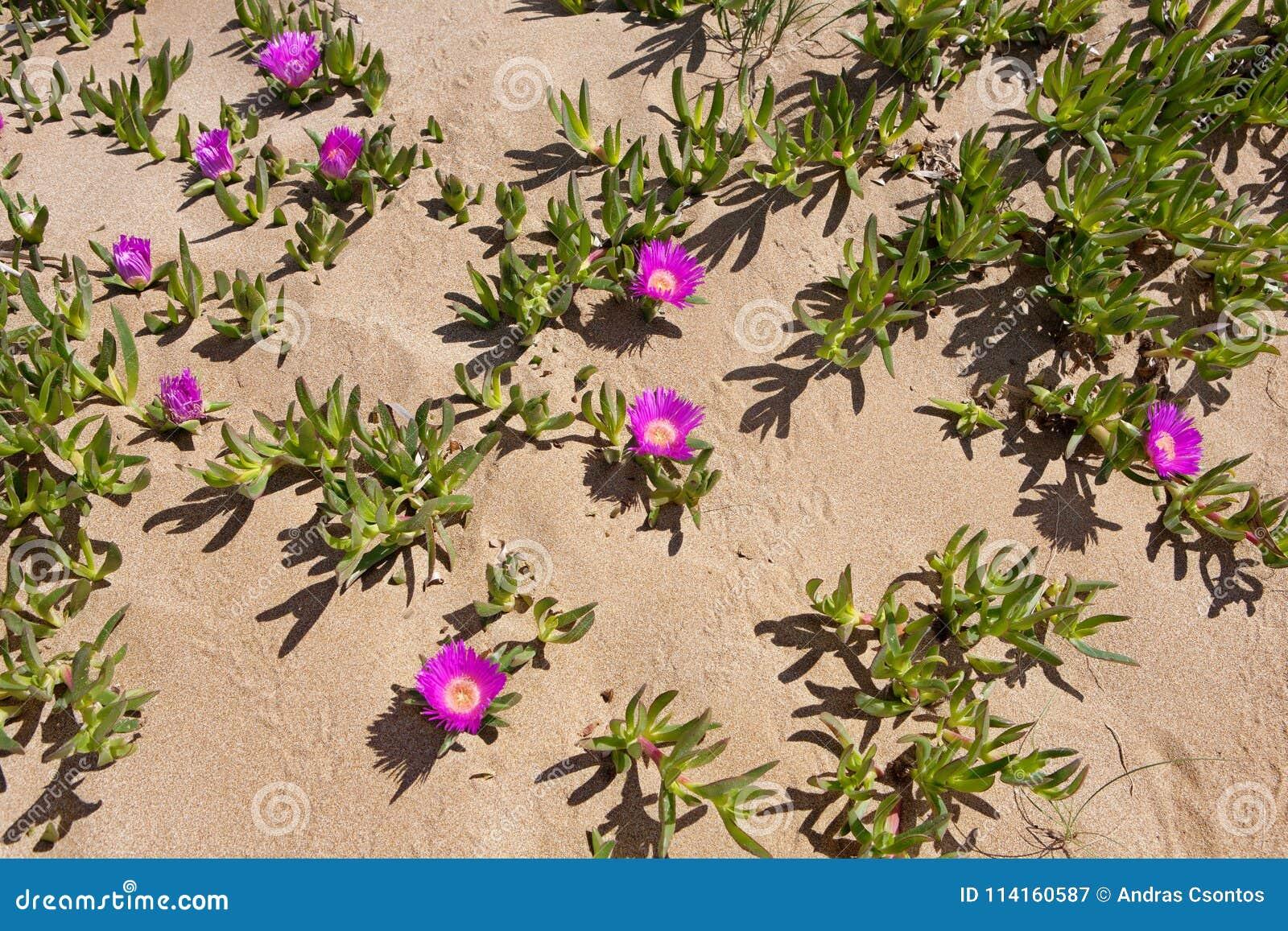 Rote hottentottische Feigen - Blumen von der Wüste von See Korission