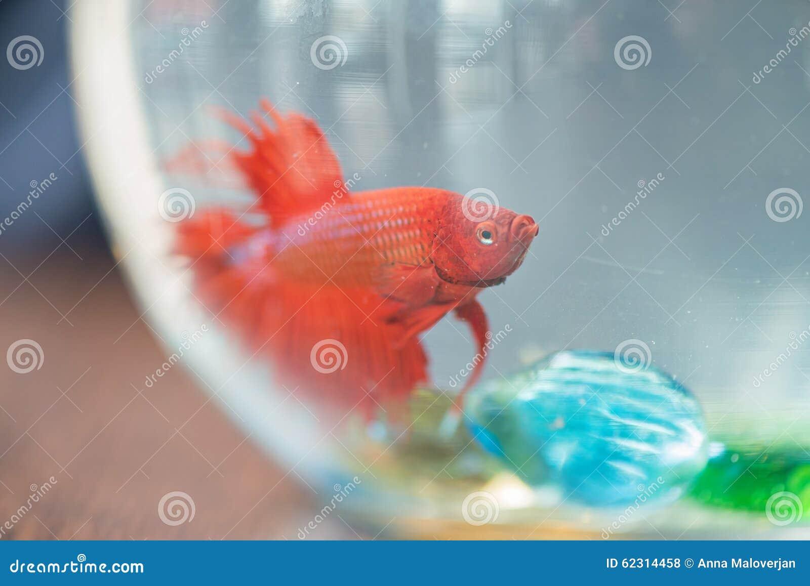 rote kleine fische im aquarium stockfoto bild von tropisch wildnis 62314458. Black Bedroom Furniture Sets. Home Design Ideas