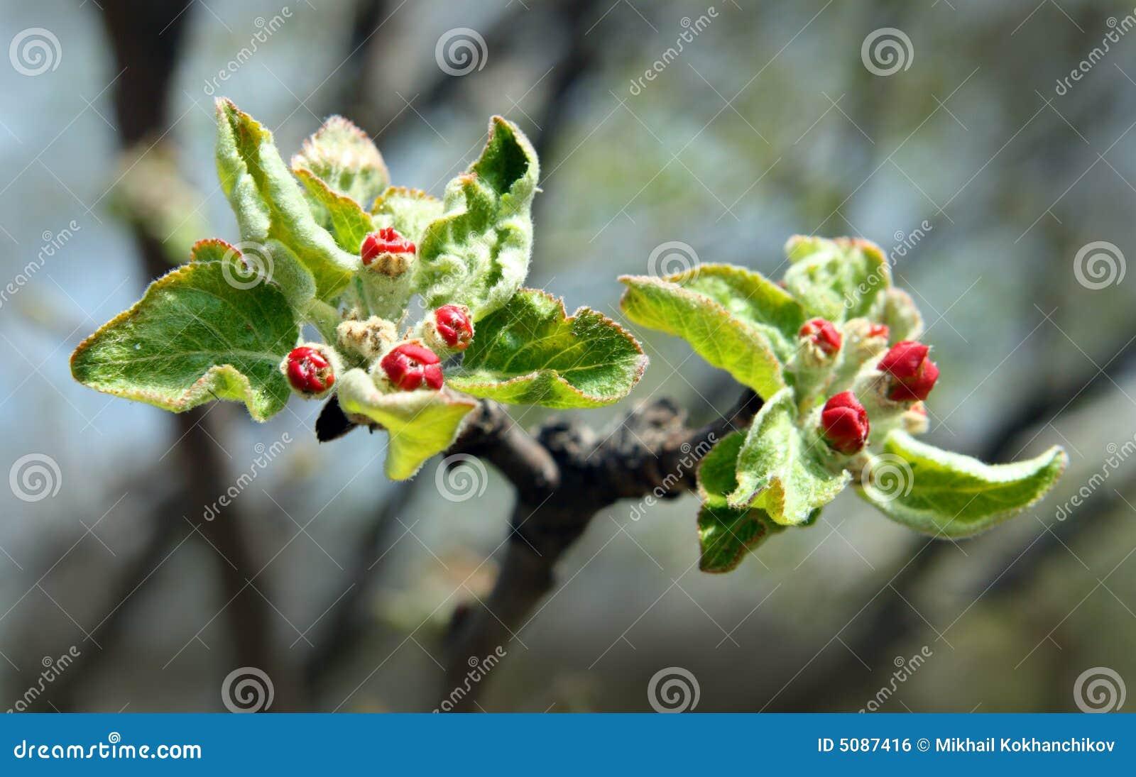 Rote Knospen Auf Apfelbaum Lizenzfreies Stockbild Bild