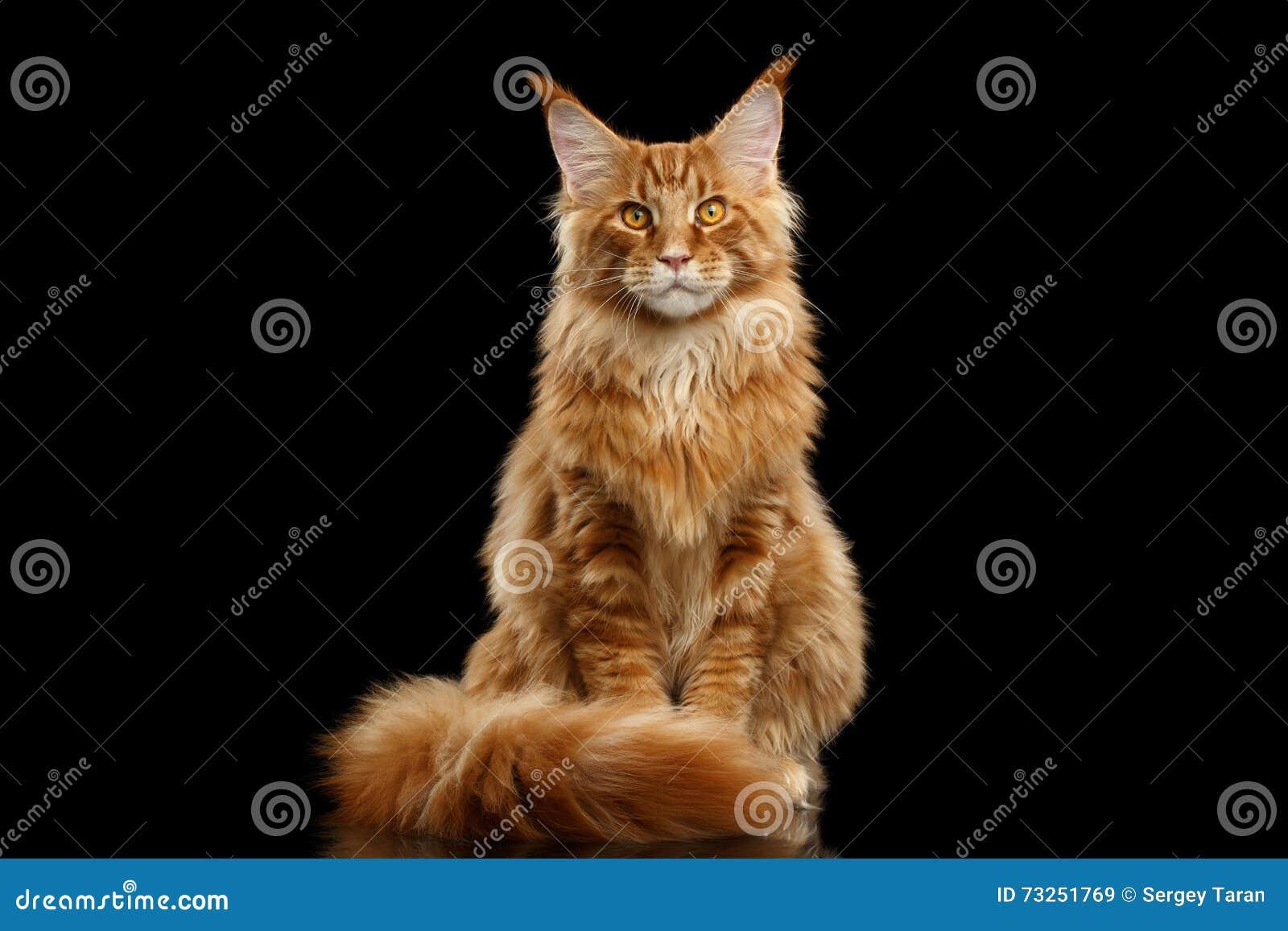 Rote Maine Coon Cat Sitting mit Pelzendstück lokalisiertem Schwarzem