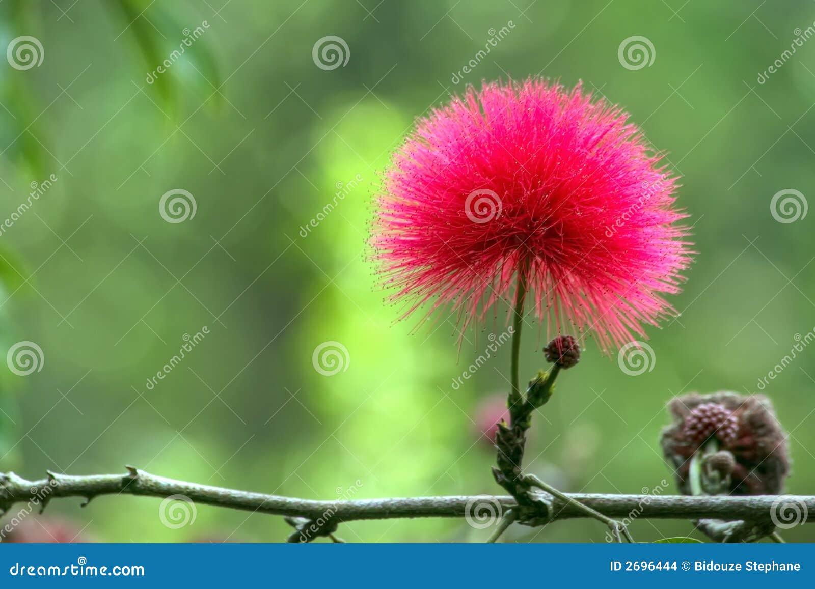 Rote Mimoseblume