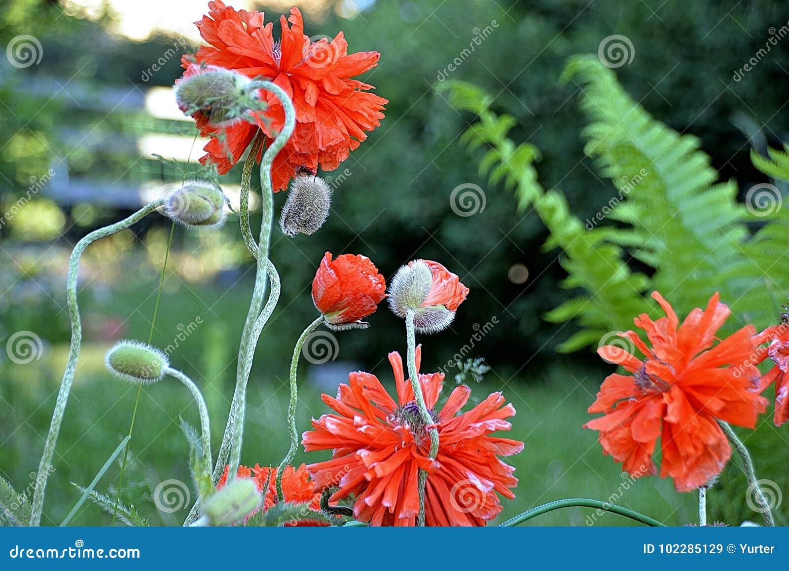 Rote Mohnblume des Gartens auf einem grünen Hintergrund
