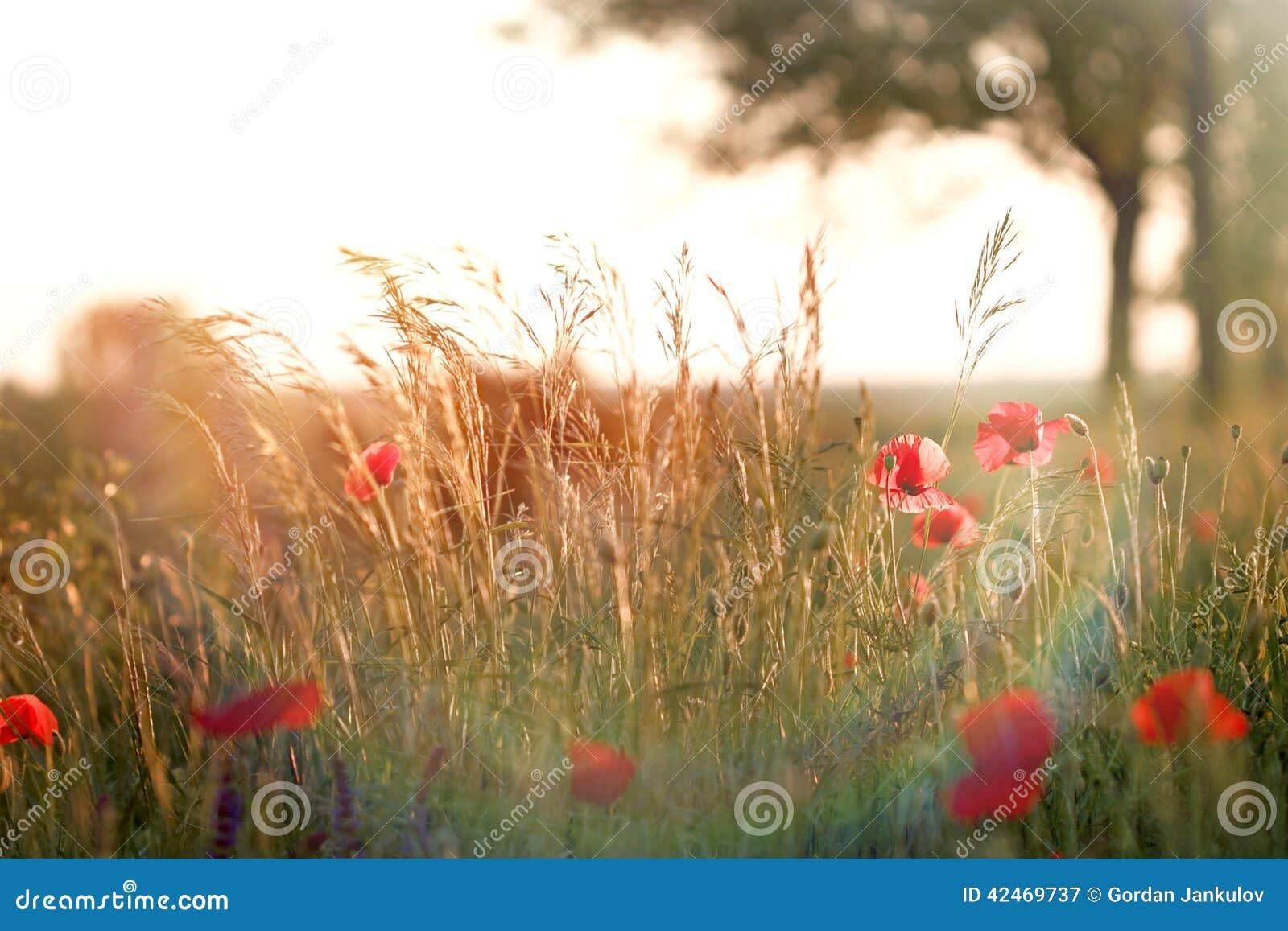 Rote Mohnblume und Gras