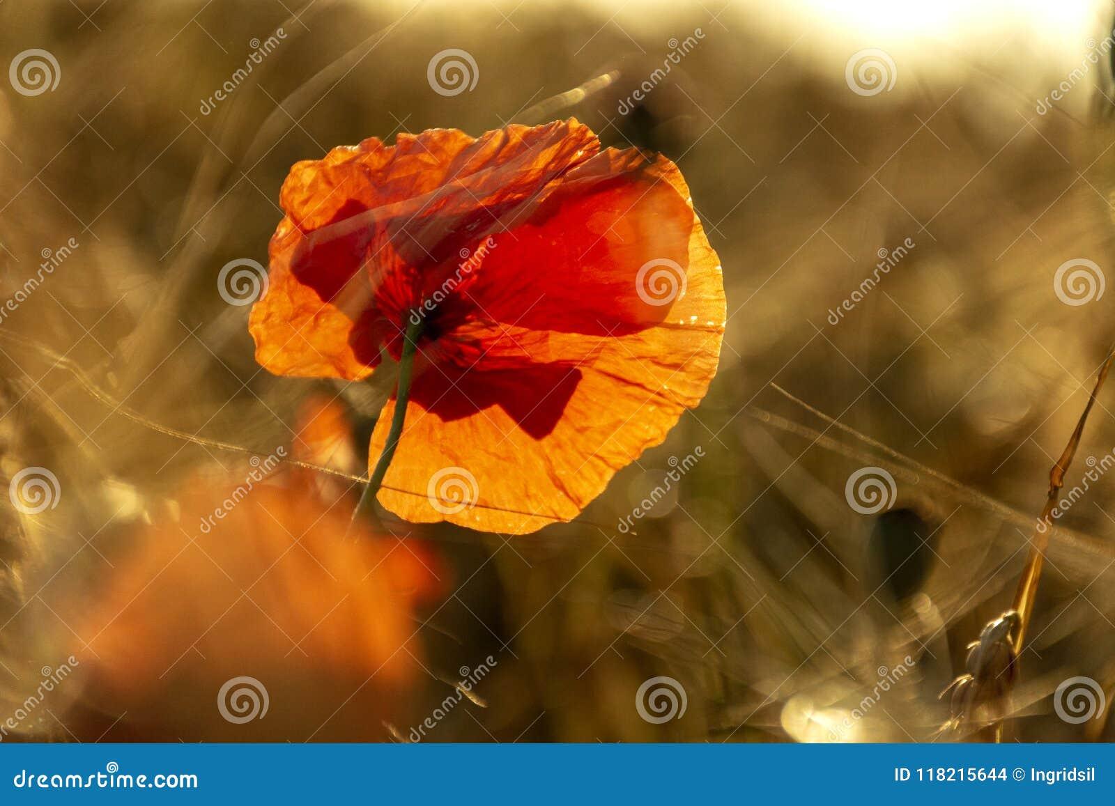 Rote Mohnblumenblume in ein Weizenfeld bei Sonnenuntergang Frühling speak