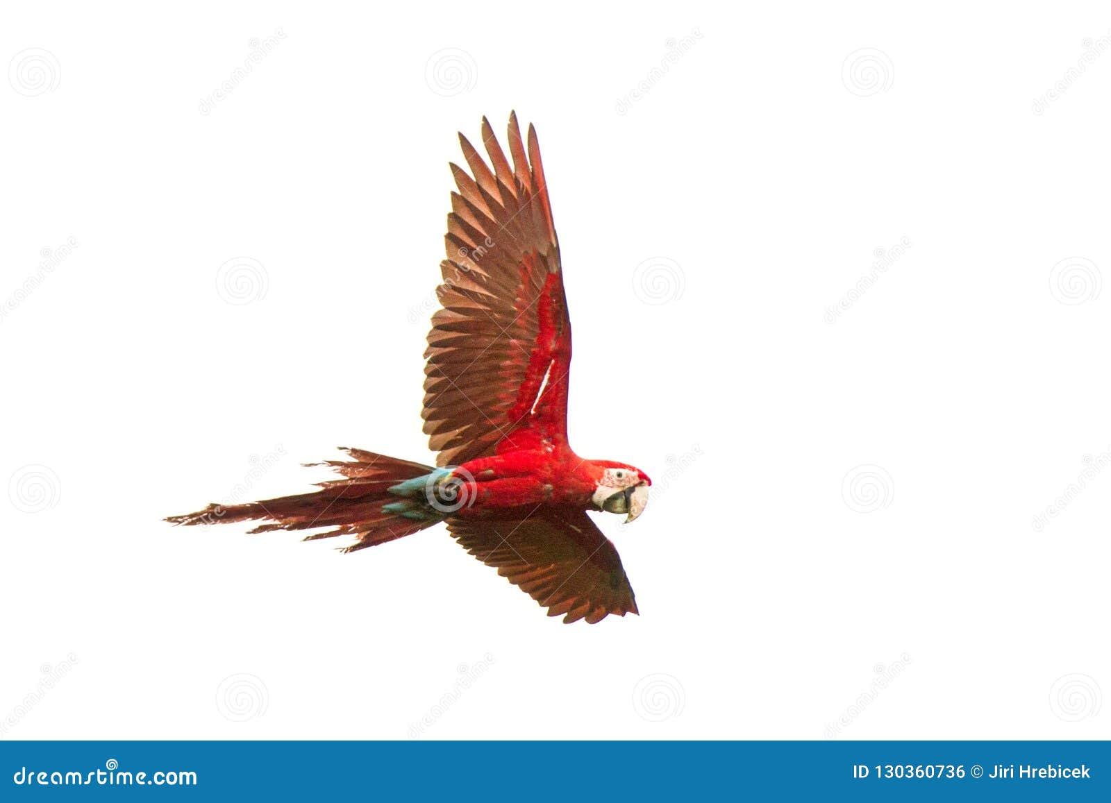 Rote Papageien im Flug Keilschwanzsittichfliegen, weißer Hintergrund, lokalisierter Vogel, Roter und Grüner Keilschwanzsittich im