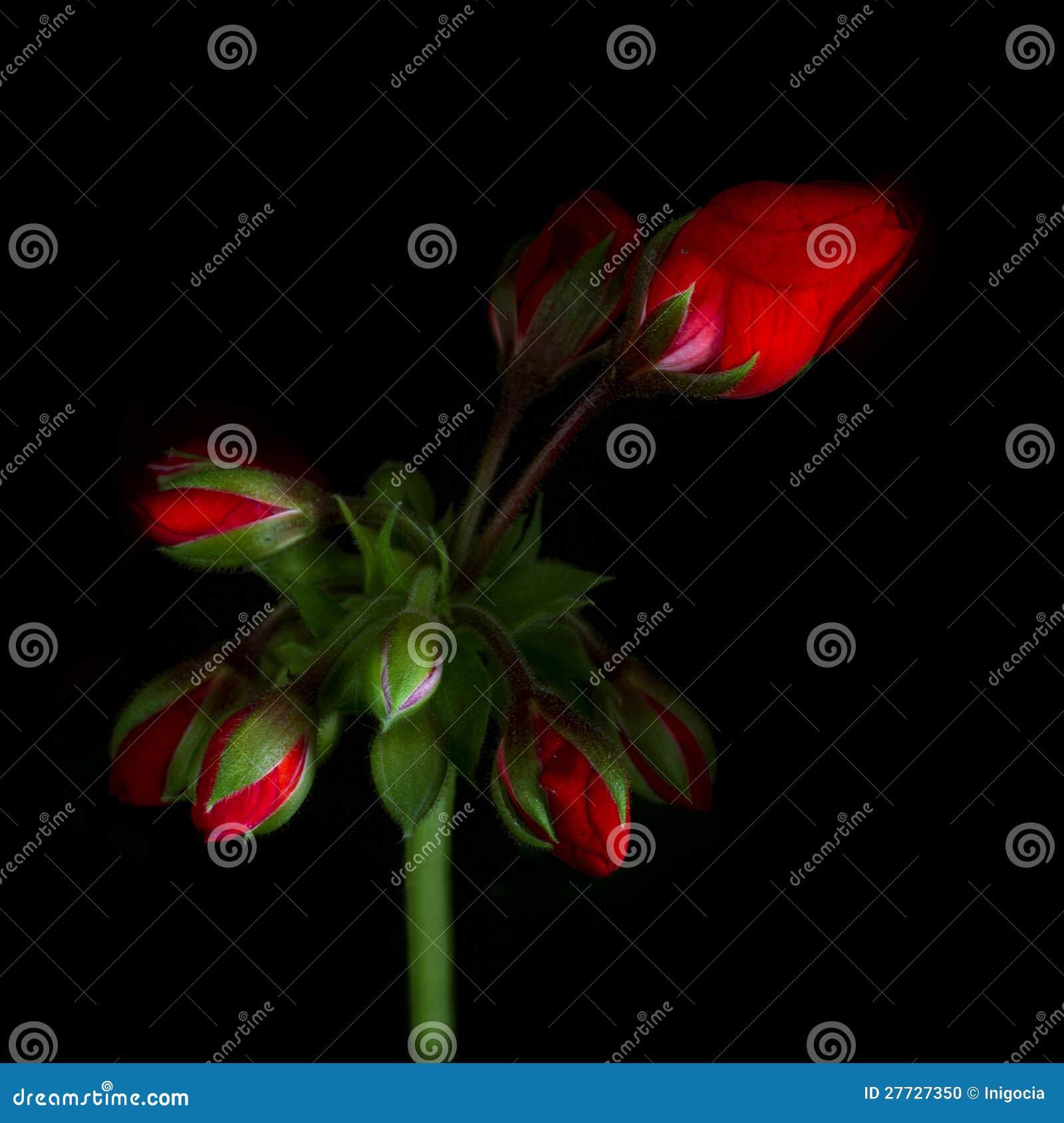 Rote Pelargonie