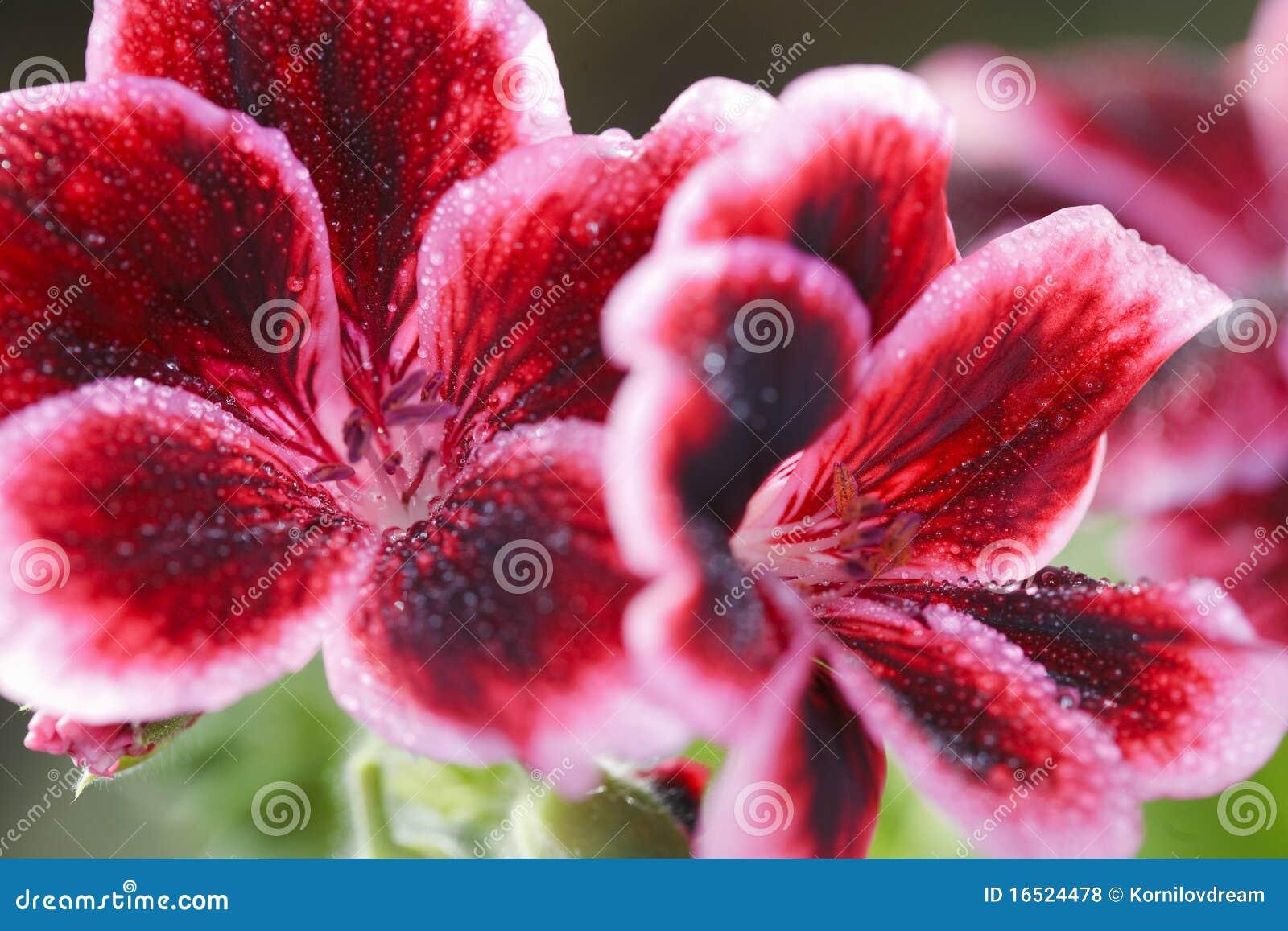 Rote Pelargonieblume