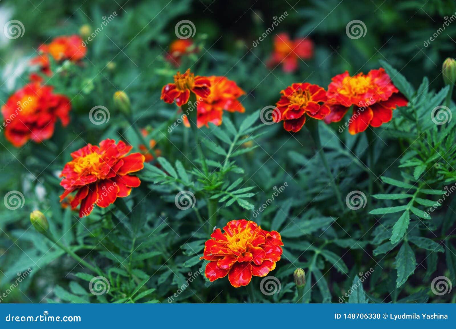 Rote Ringelblume im Garten