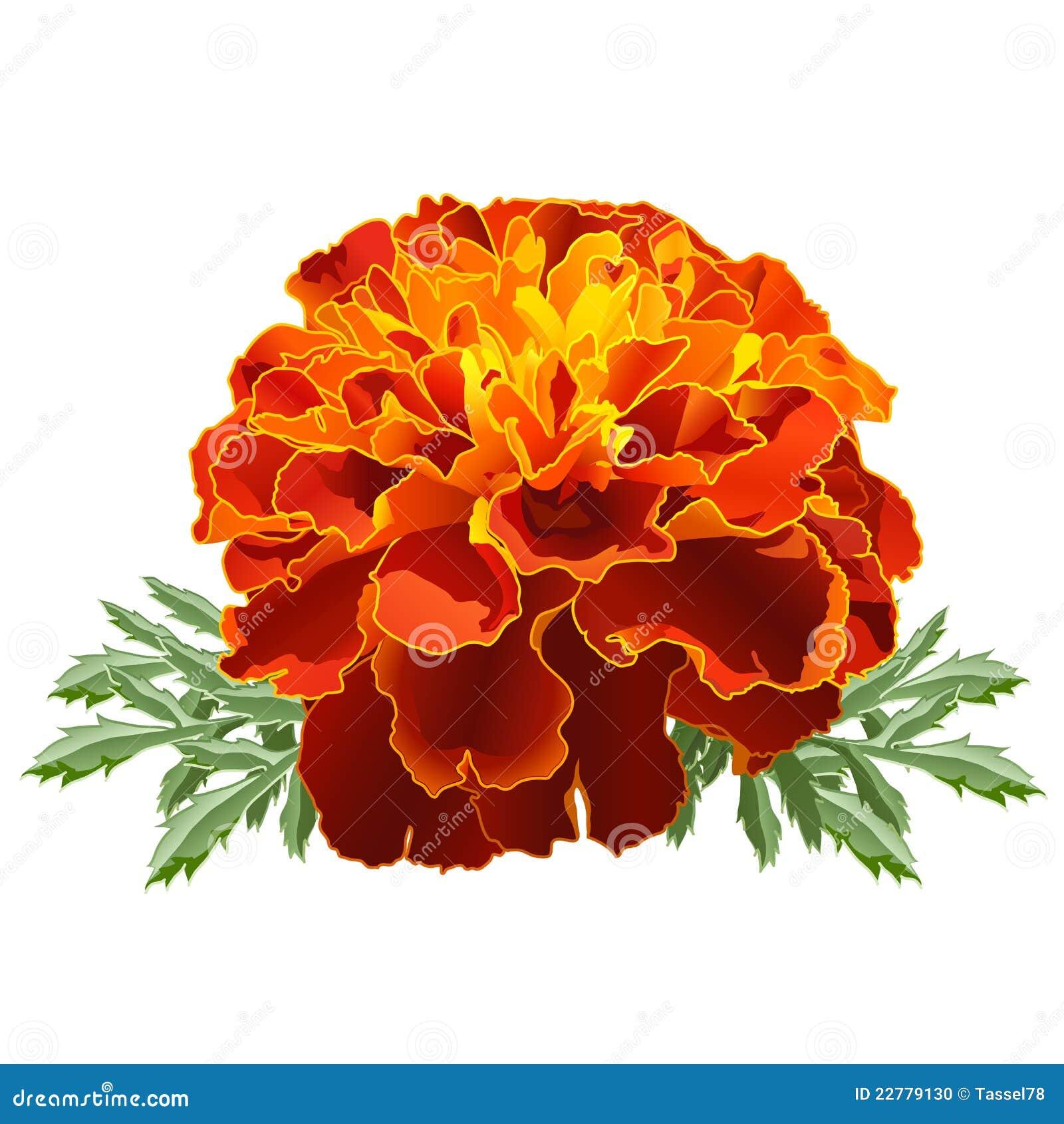 Rote ringelblume tagetes vektor abbildung bild von for Rote dekoration