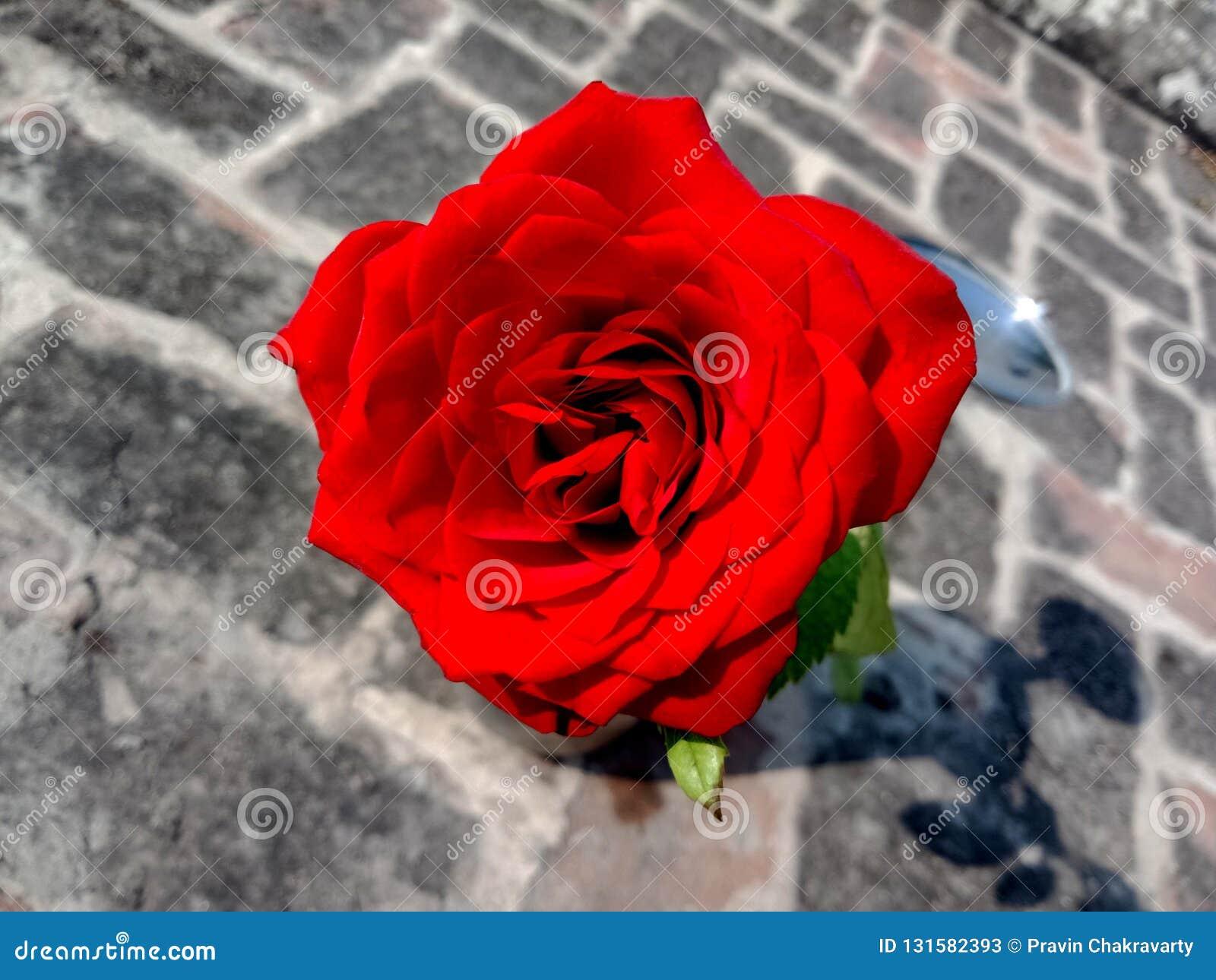 Rote Rose auf dem strukturierten Hintergrund des Ziegelsteines tapete