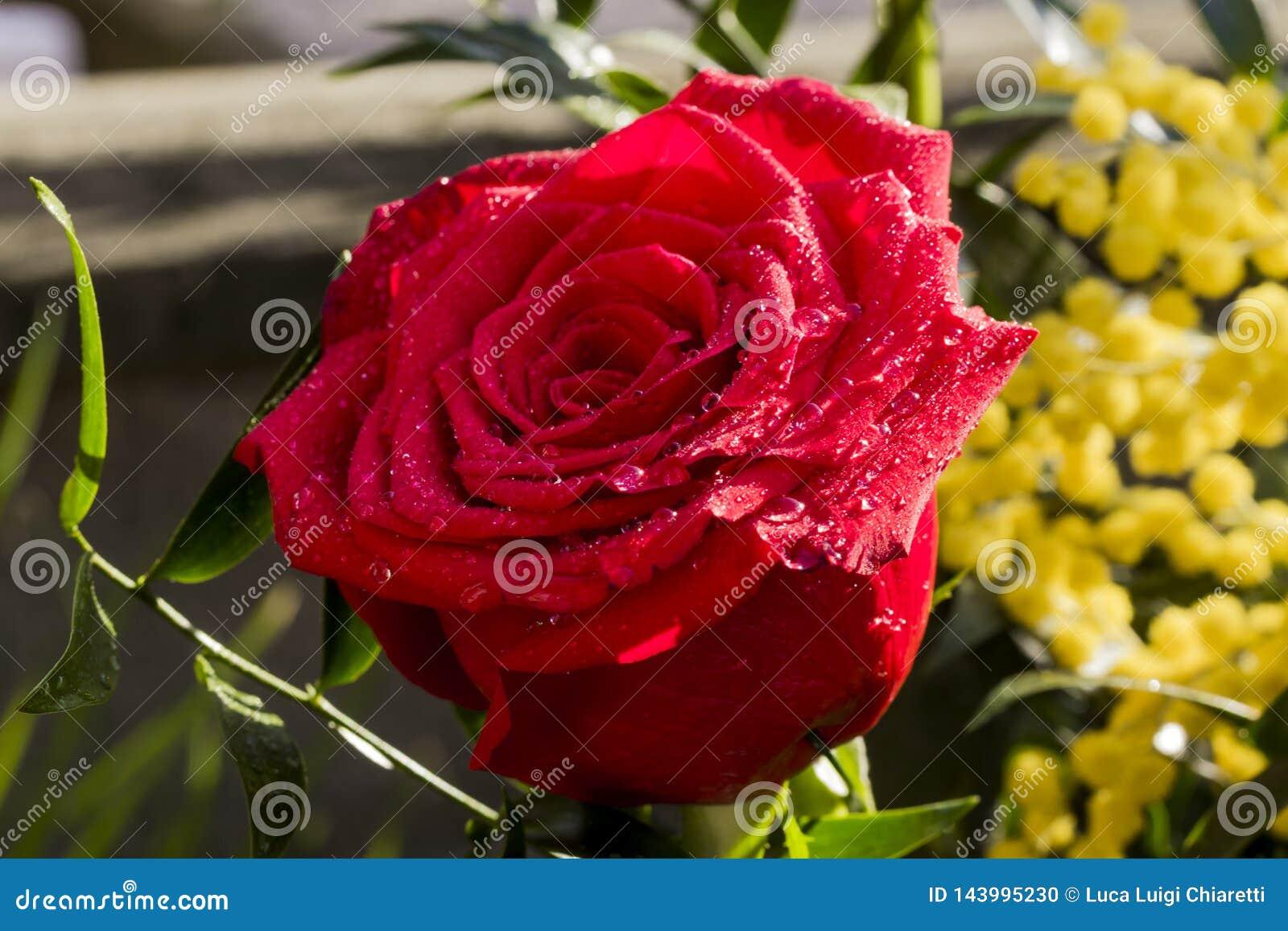 Rote Rose für den Tag der Frauen