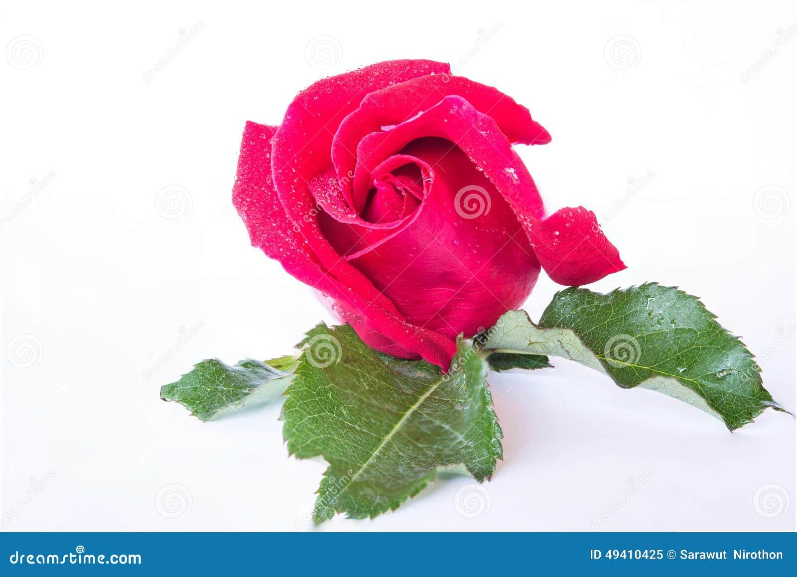 Download Rote Rosen Auf Einem Weißen Hintergrund Stockbild - Bild von valentine, rosen: 49410425