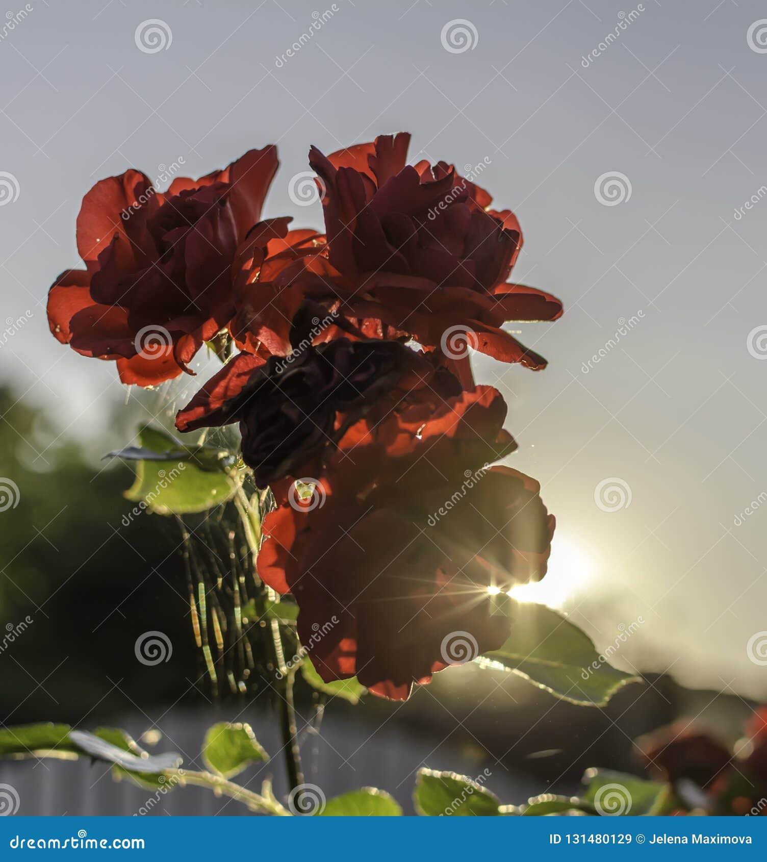 Rote Rosen gegen Sommerabendsonne