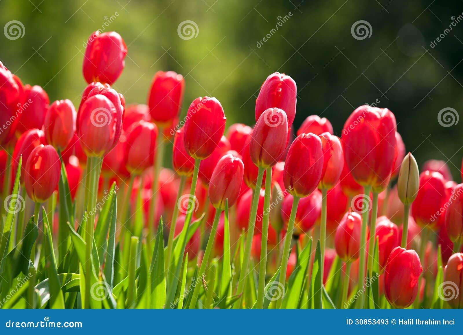 Rote Tulpen im Frühjahr