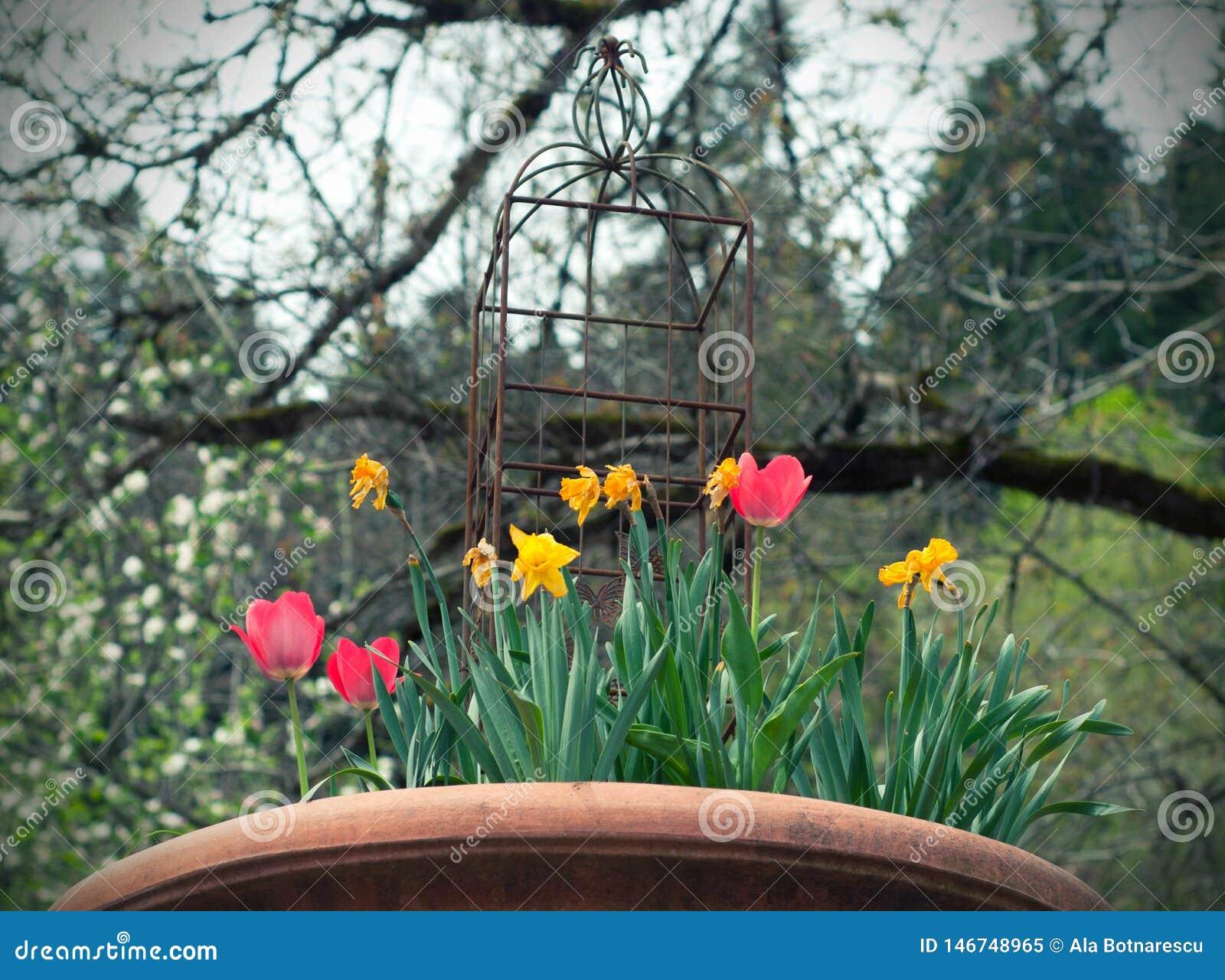 Rote und gelbe Tulpen und Narzissen im Weinlesetopf im Garten