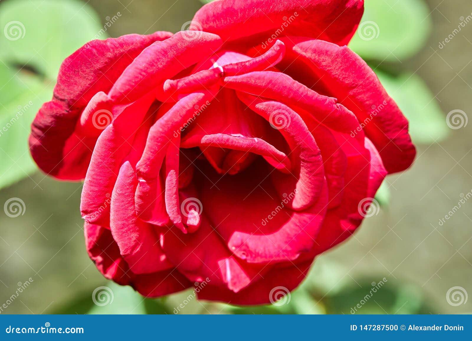Rote wachsende Blume - Rose auf einem Blumenbeet im Park