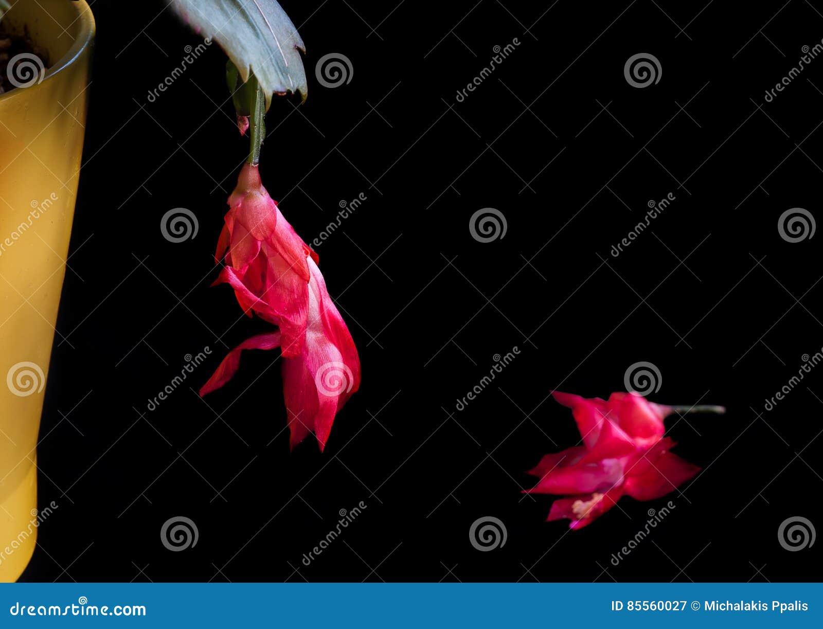 Rote Weihnachtskaktuss-Blume