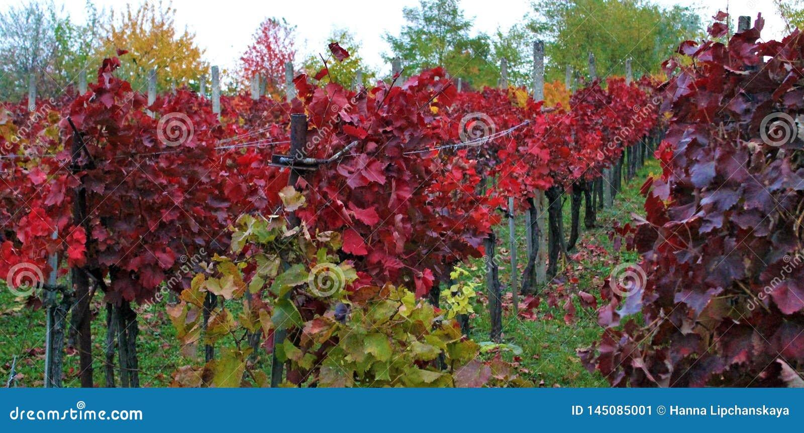 Rote Weinberge von Eger, Ungarn