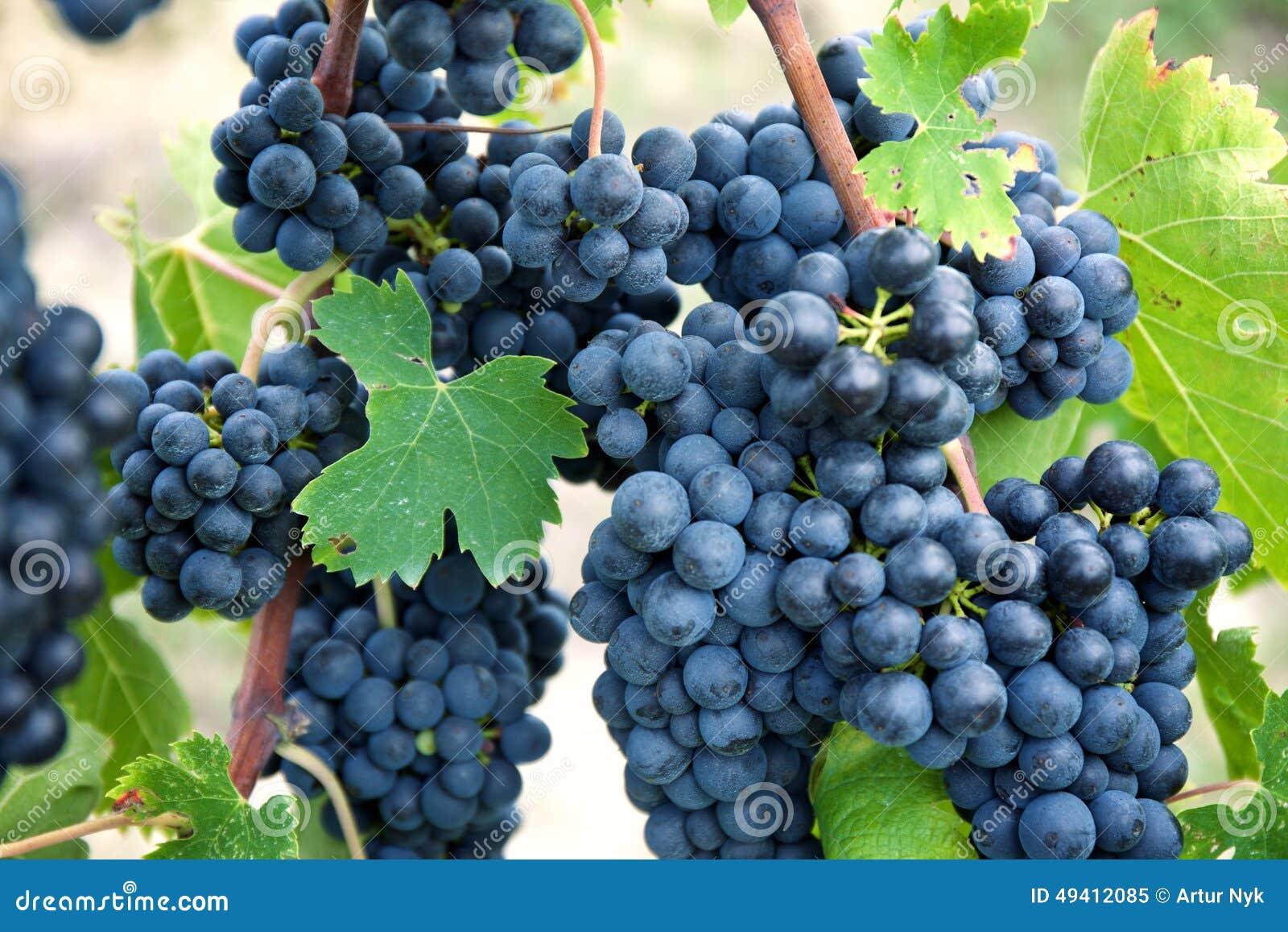 Download Rote Weinreben Auf Alter Rebe, Toskaneres Stockbild - Bild von weinkellerei, wein: 49412085