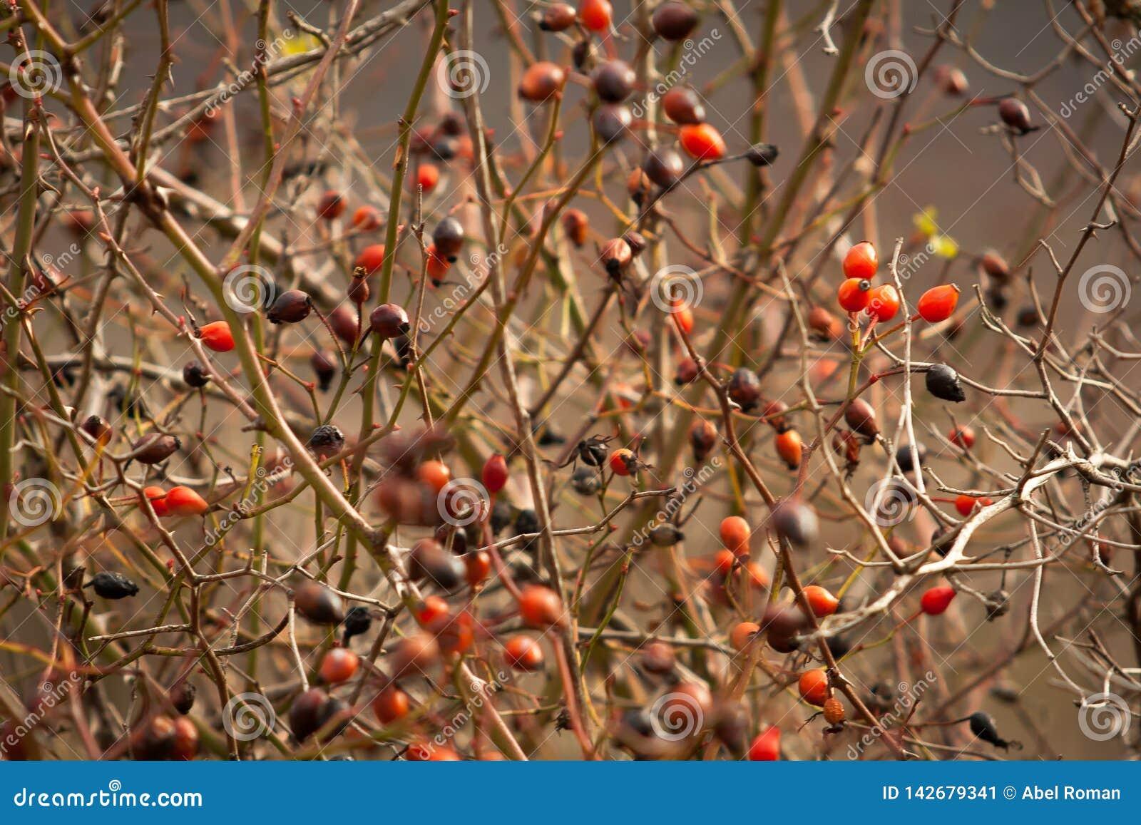 Rote wilde Beeren