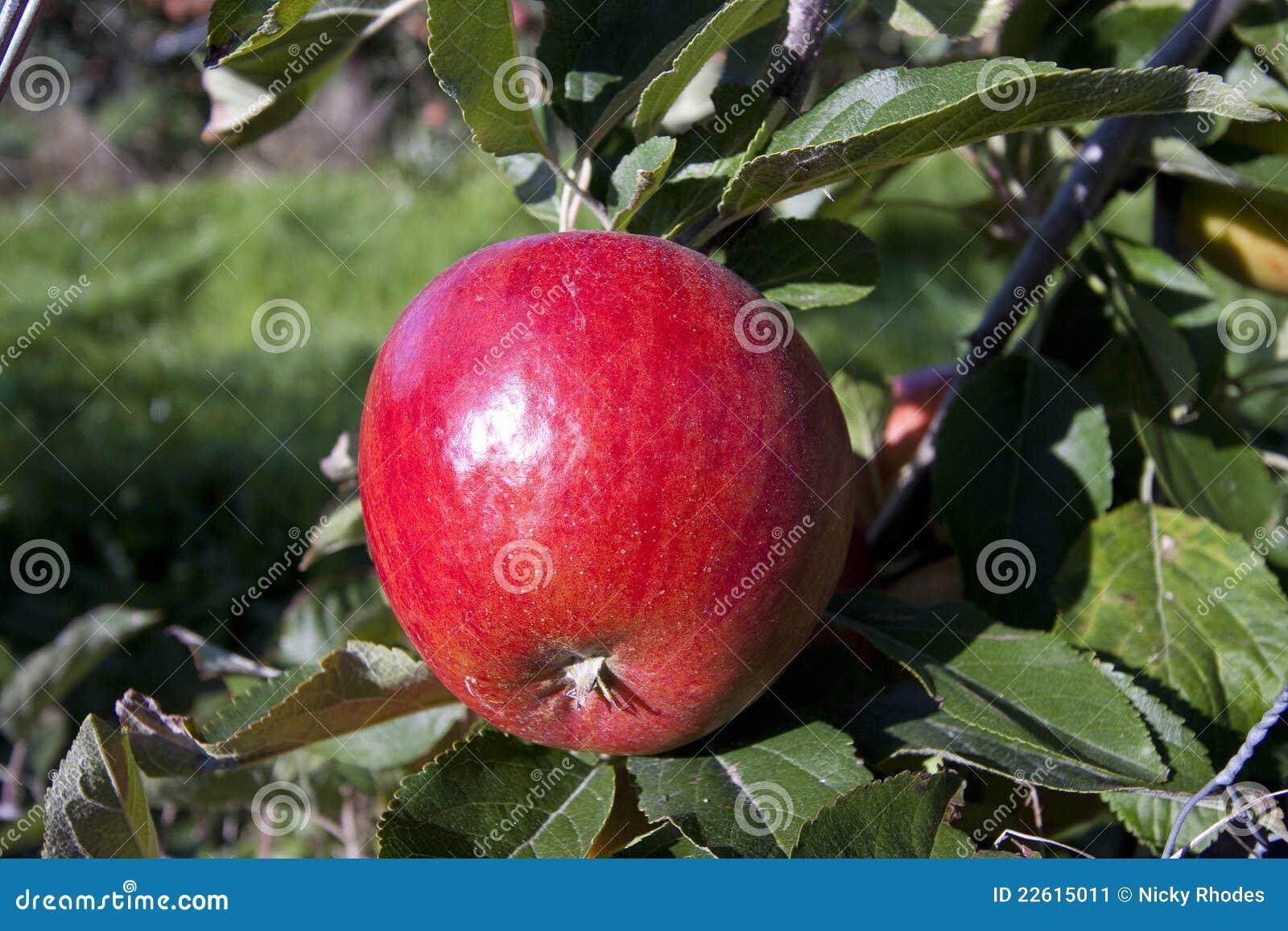 Roter Apfel, der in einem Obstgarten wächst