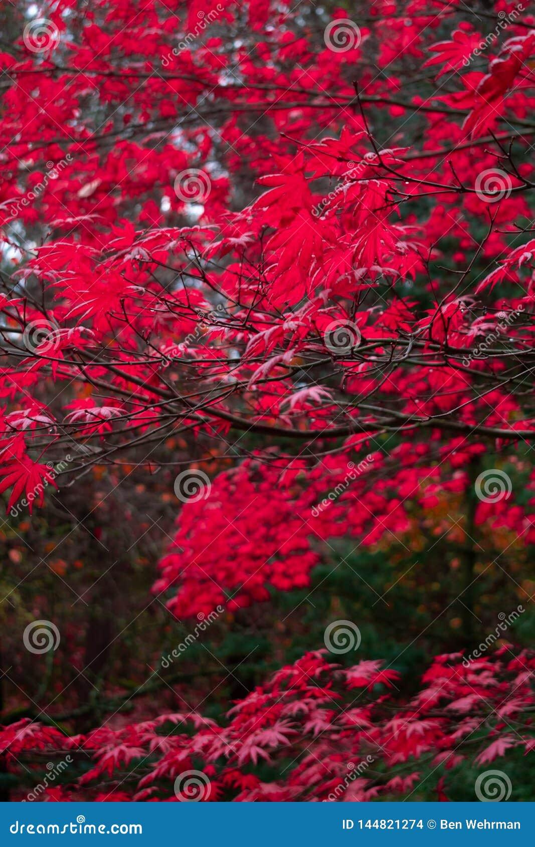 Roter Autumn Leaves im pazifischen Nordwesten