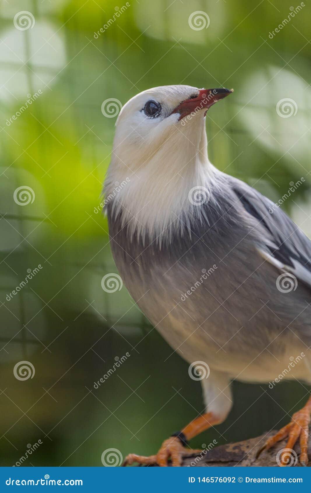 Roter berechneter Starling Bird With Red Beak