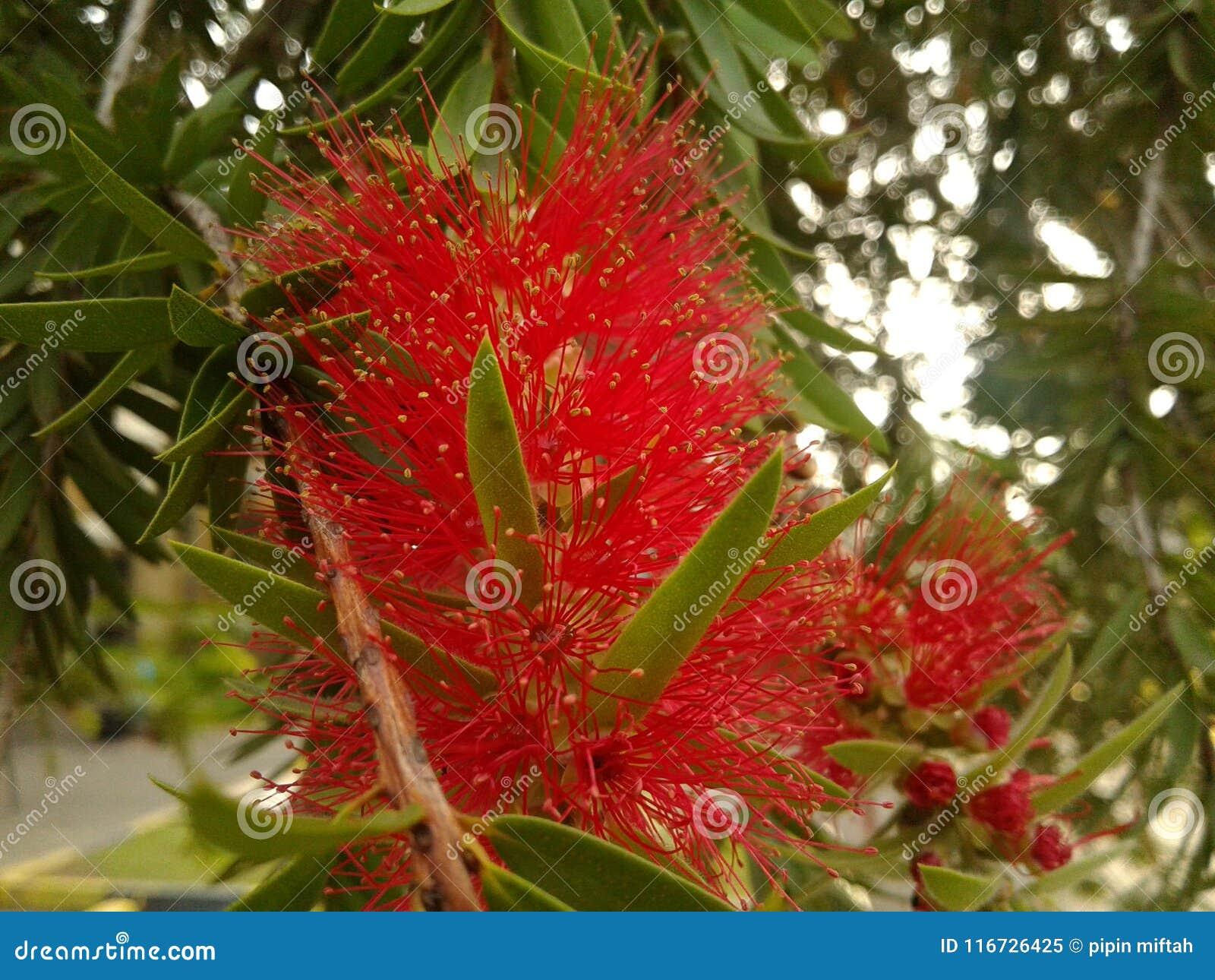 Roter Bottlebrush