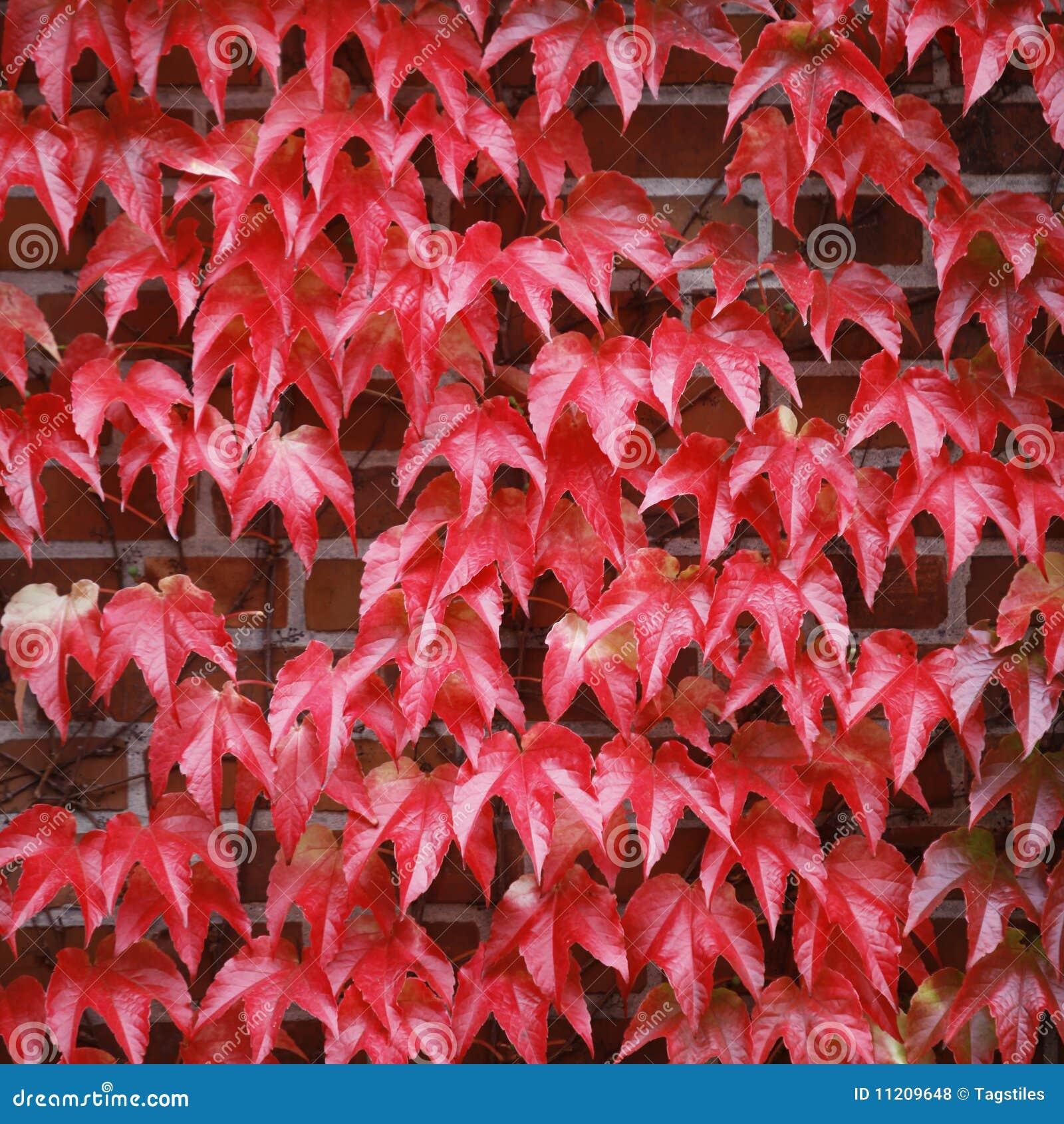 Download Roter Efeu stockfoto. Bild von ziegelstein, ziegelsteine - 11209648