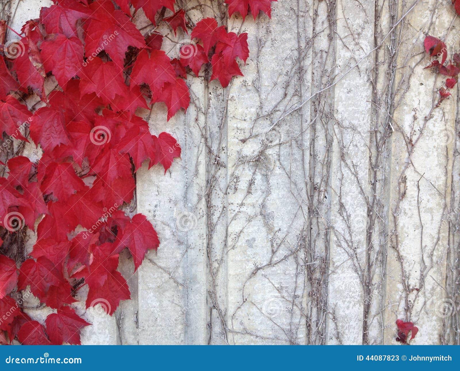 Roter Efeu Auf Grauer Wand Stockbild. Bild Von Landschaft