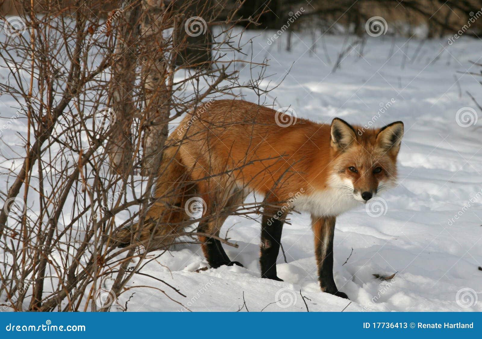 Roter Fox im Winter