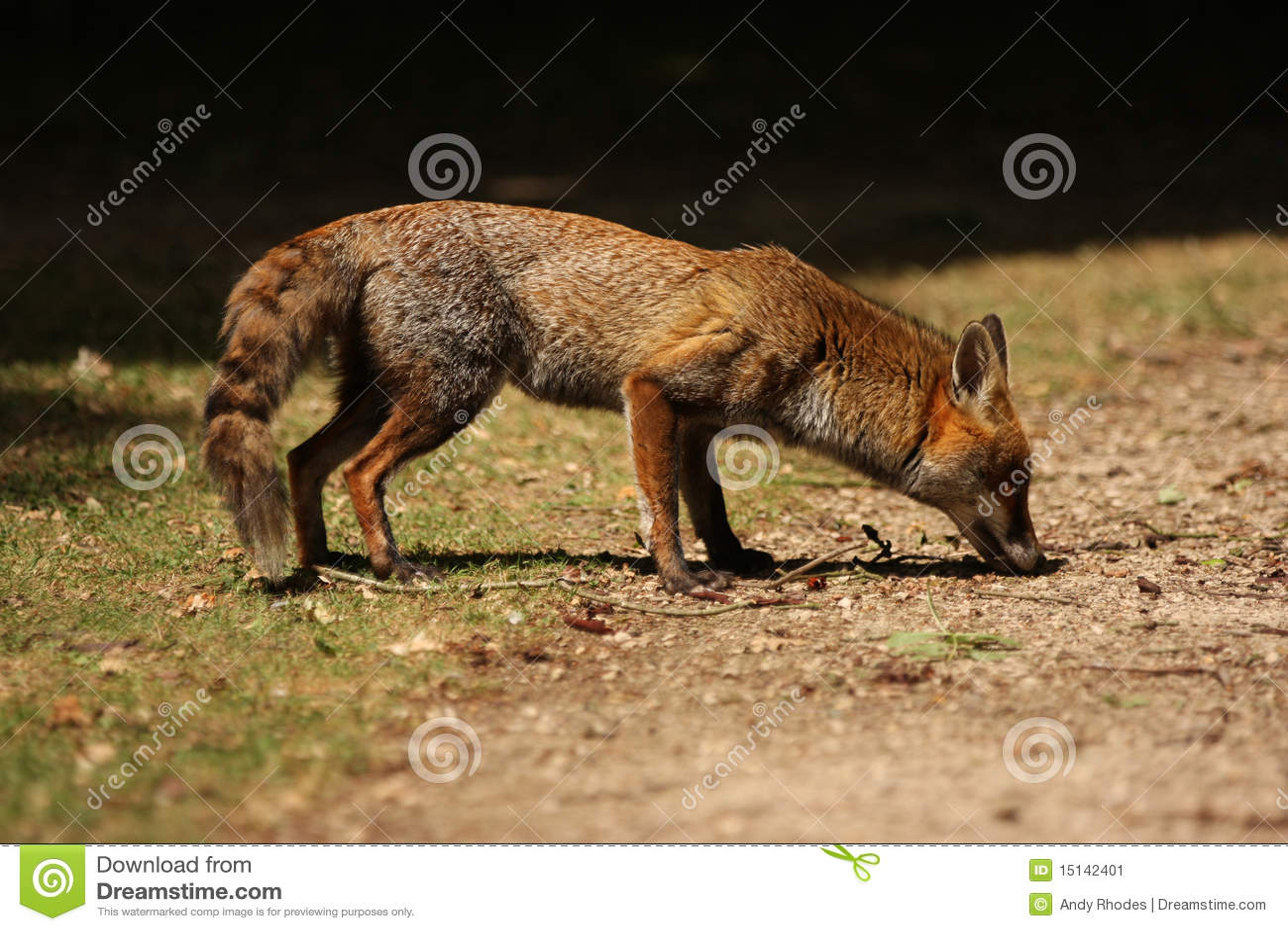 Roter Fox-Schnüffeln