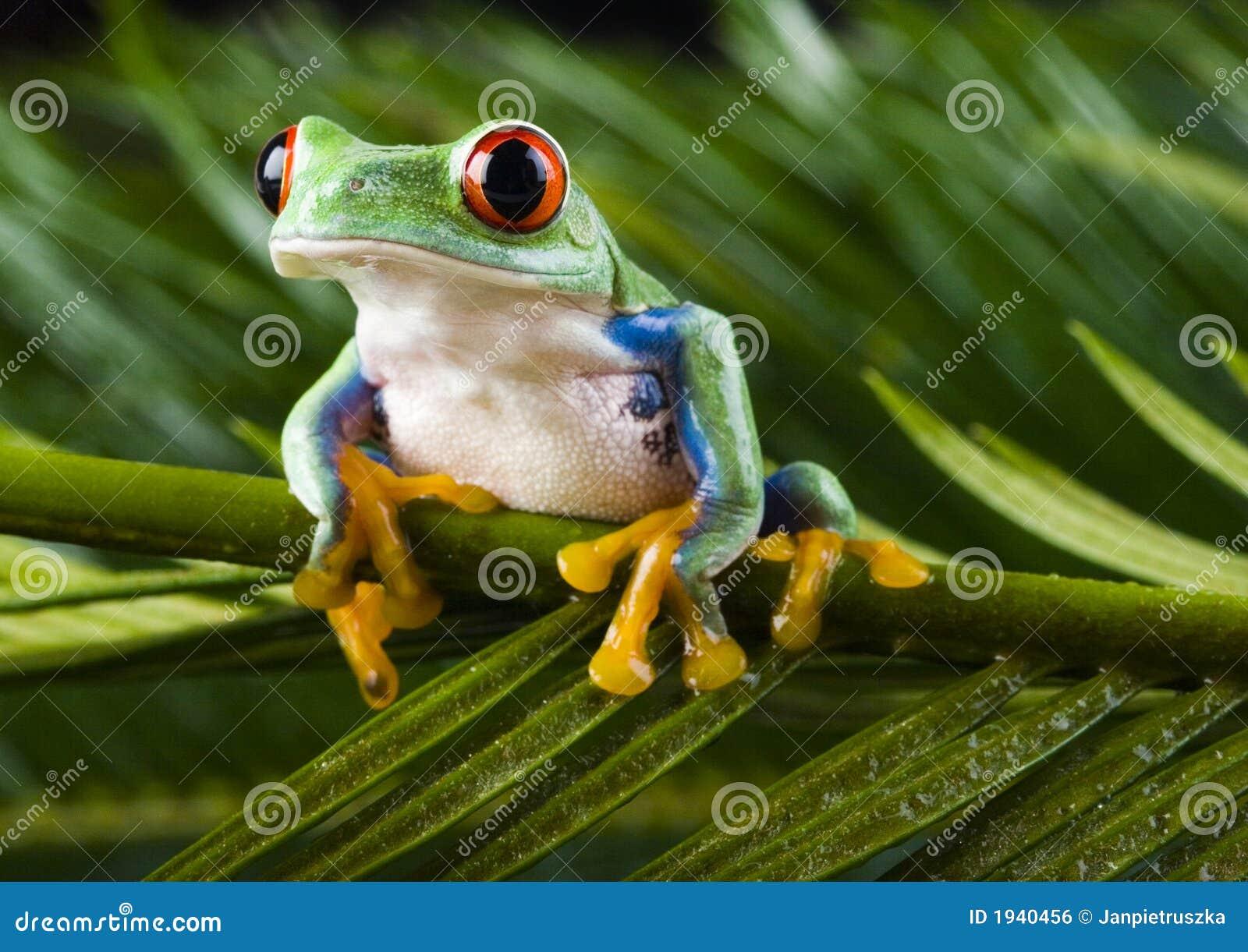 roter frosch stockfoto bild von amphibien tier fauna. Black Bedroom Furniture Sets. Home Design Ideas