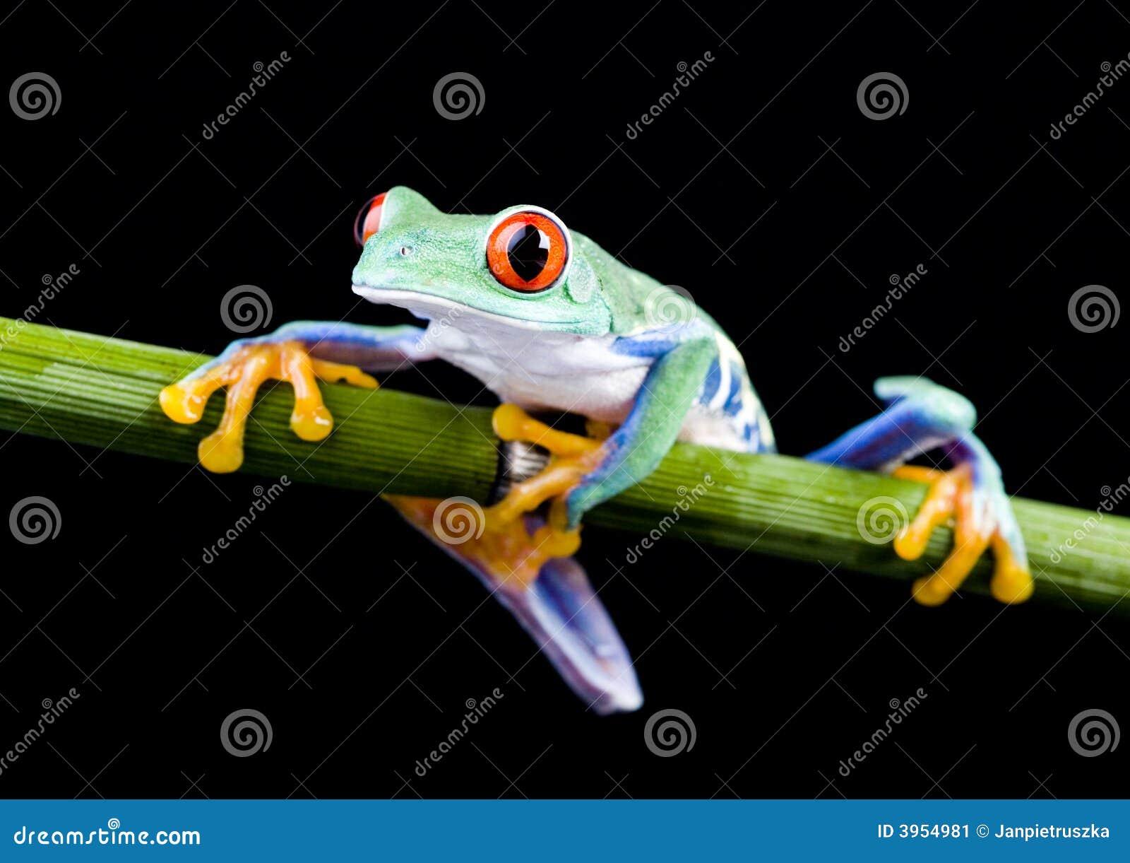Roter Frosch stockbild. Bild von farben, rüber, blatt - 3954981