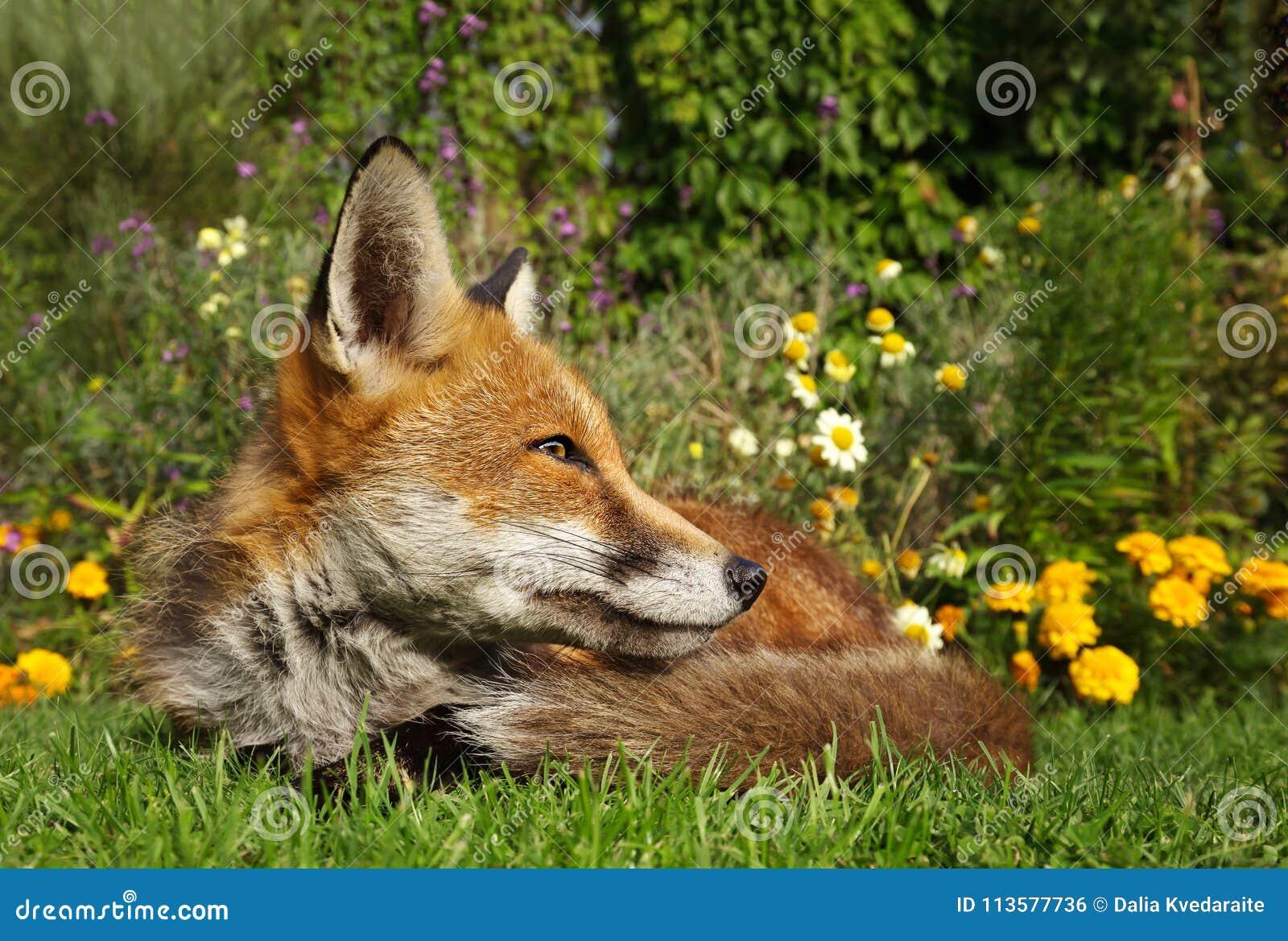 Roter Fuchs Der Im Garten Mit Blumen Liegt Stockfoto Bild Von