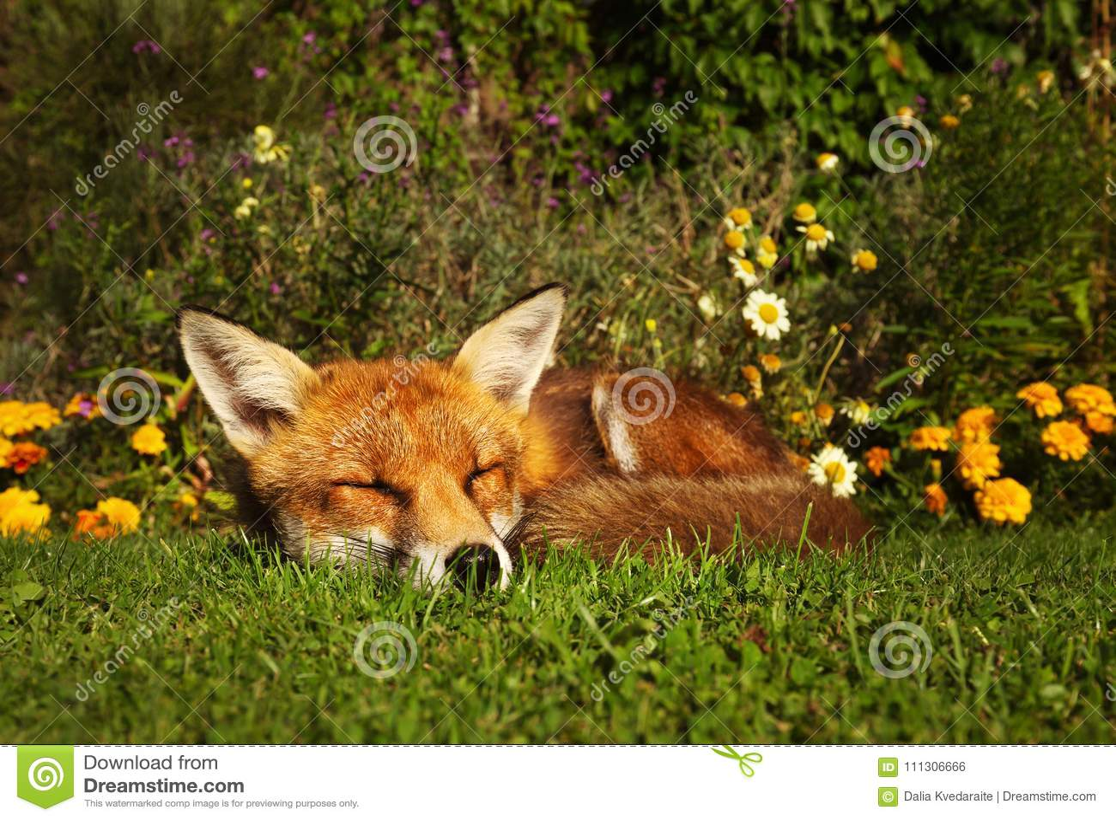 Roter Fuchs Der Im Garten Mit Blumen Schläft Stockfoto Bild Von