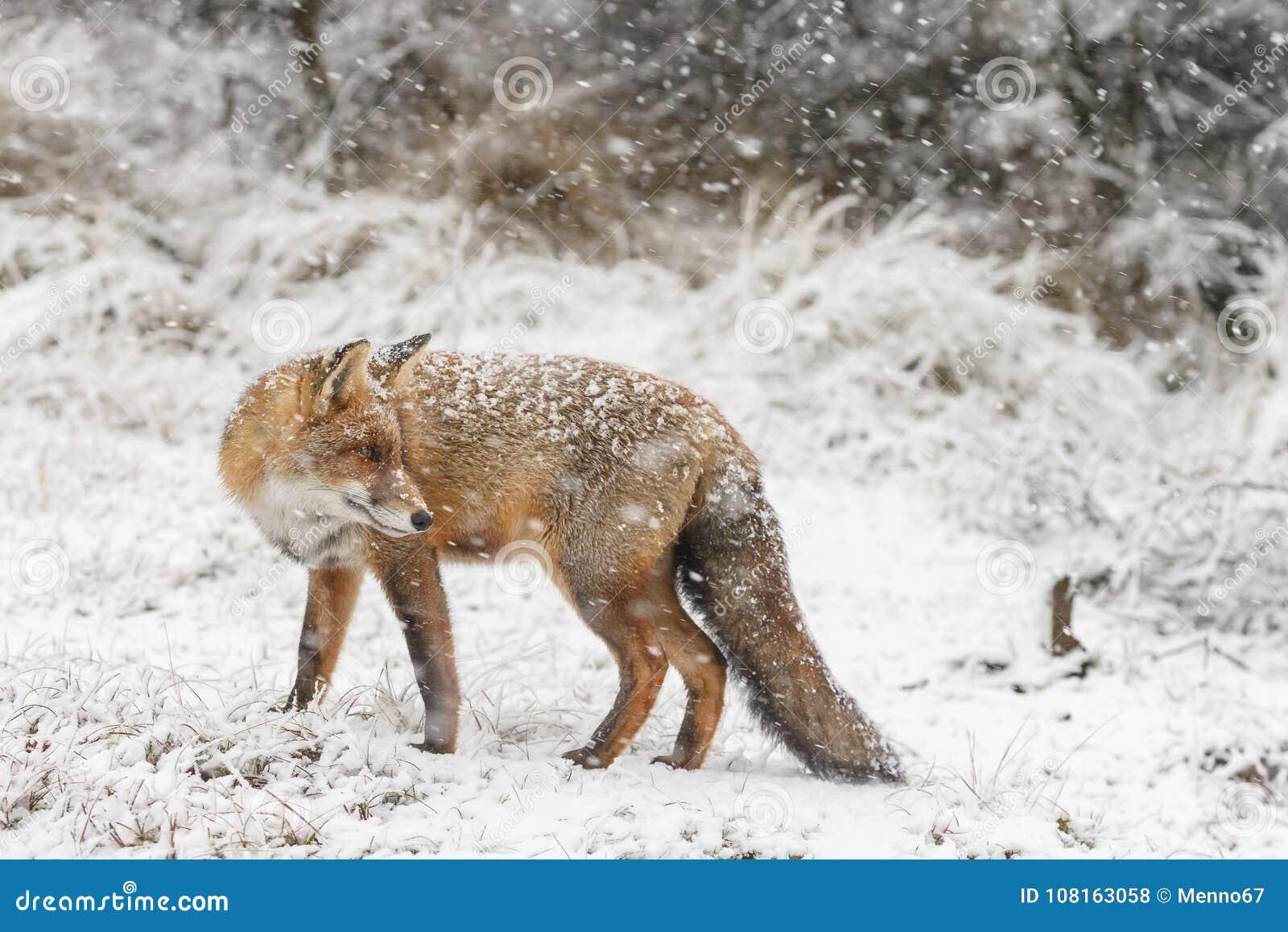 Roter Fuchs In Einem Winter Landschap Stockfoto Bild Von