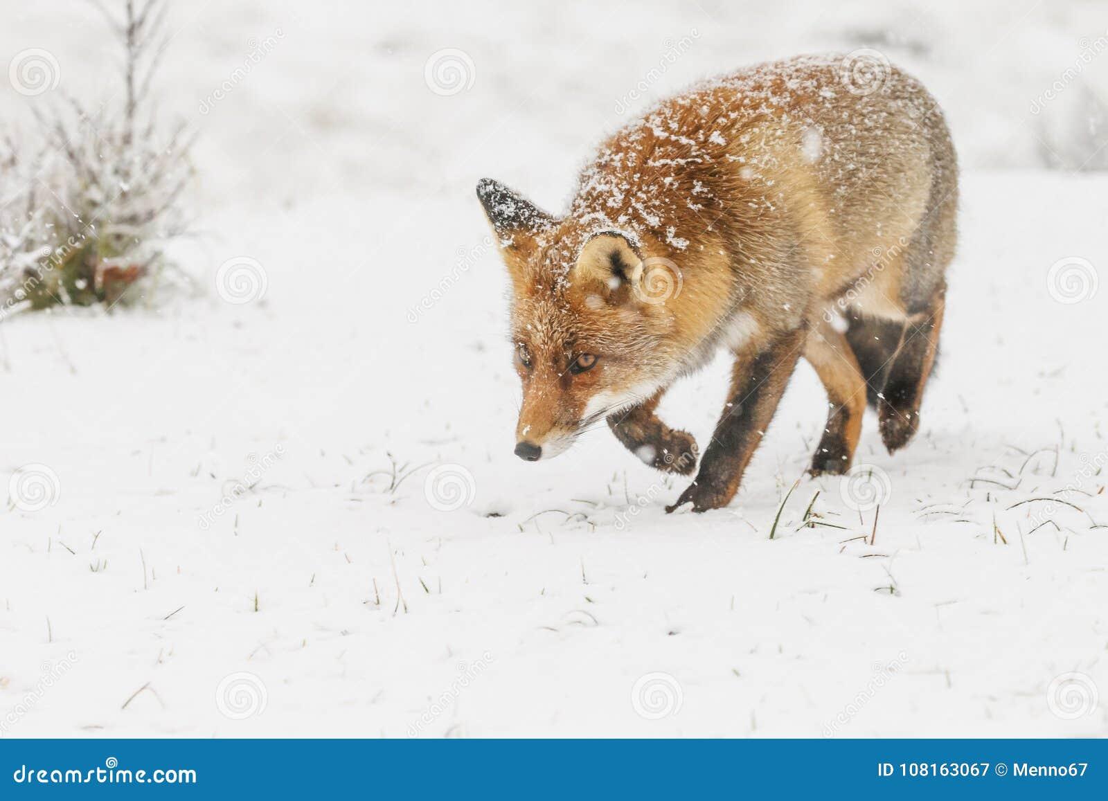 Roter Fuchs In Einem Winter Landschap Stockbild Bild Von Fuchs