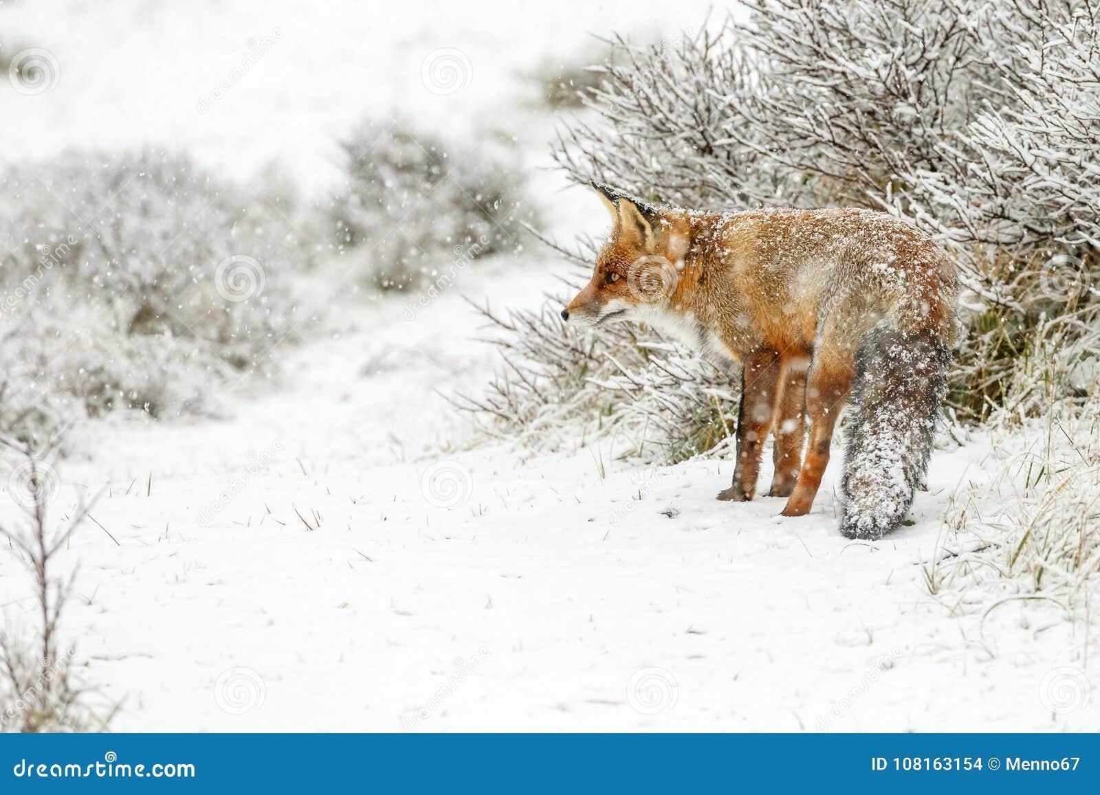 Roter Fuchs In Einem Winter Landschap Stockfoto Bild Von Fall