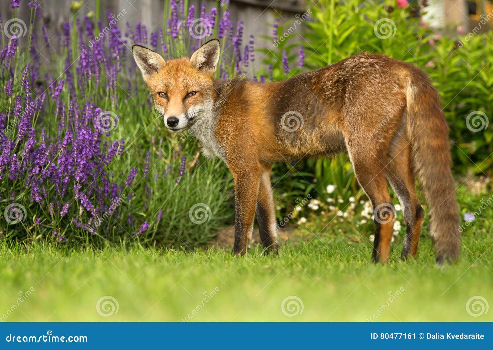 Merveilleux Roter Fuchs Im Garten
