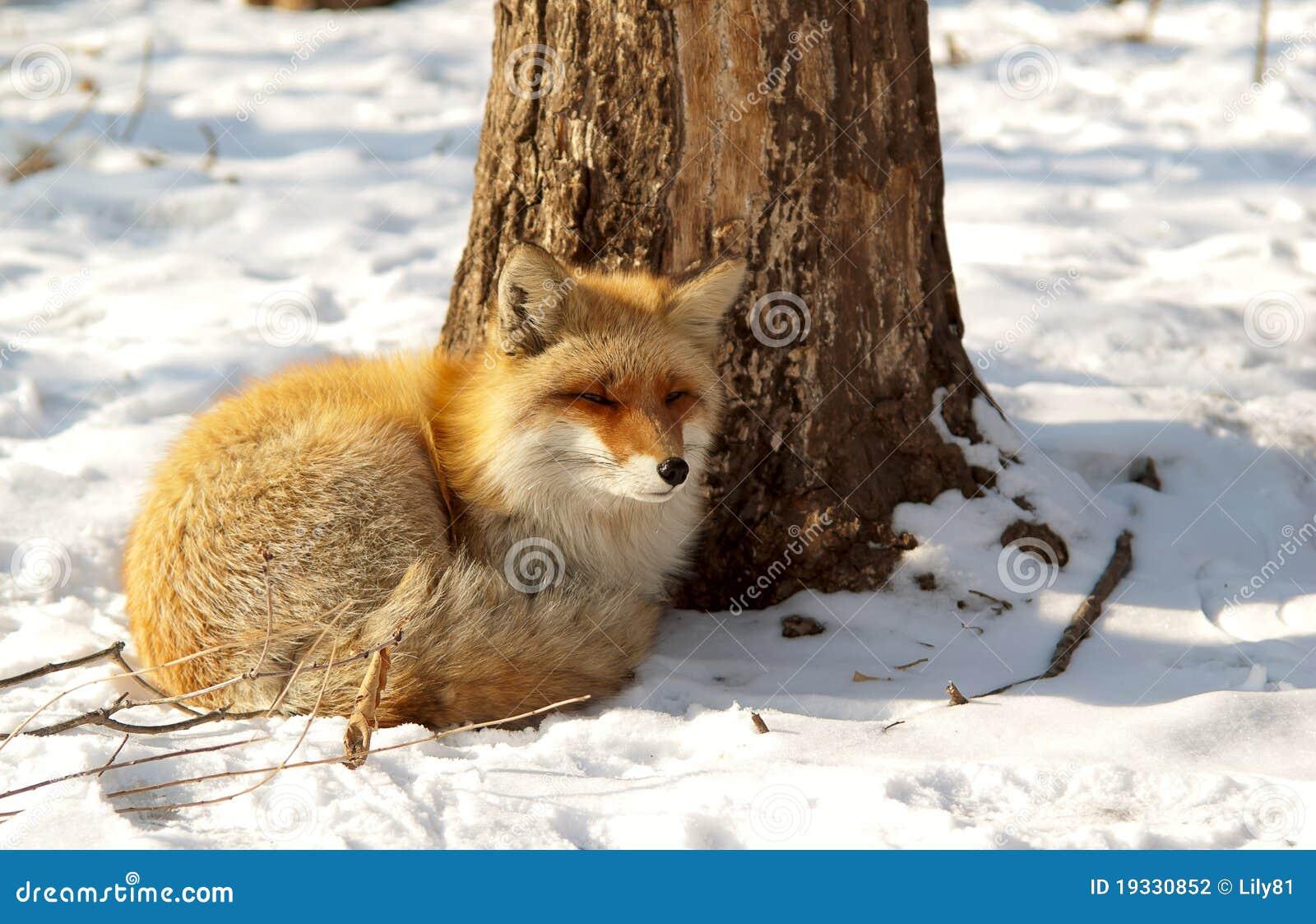 Roter Fuchs Im Winter Stockfoto Bild Von Pelz Wald 19330852