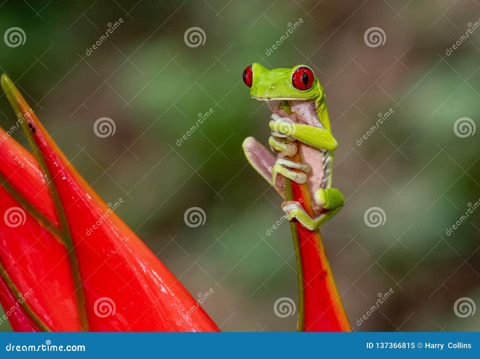 Roter gemusterter Baumfrosch