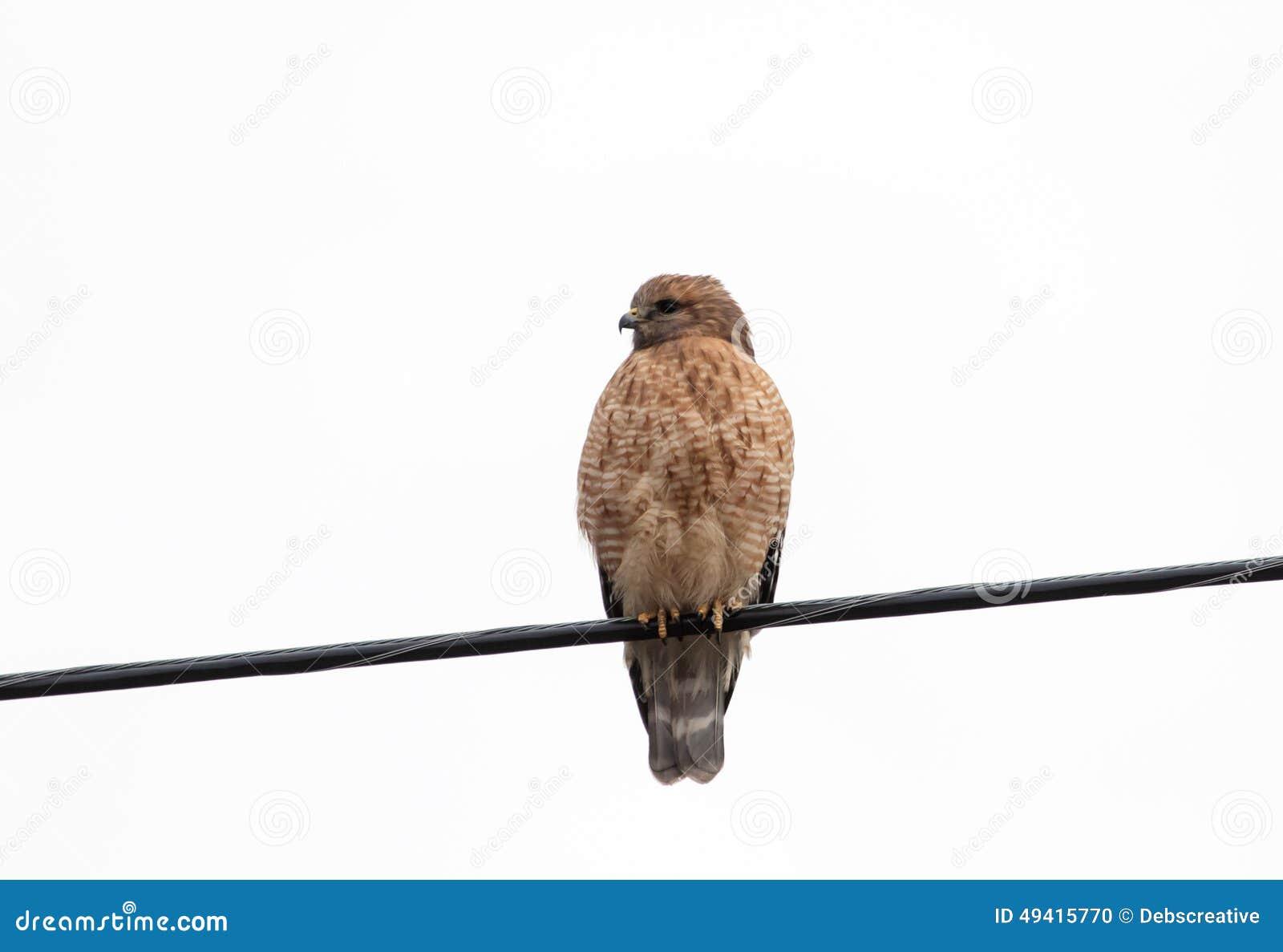Download Roter geschulterter Falke stockfoto. Bild von groß, schön - 49415770