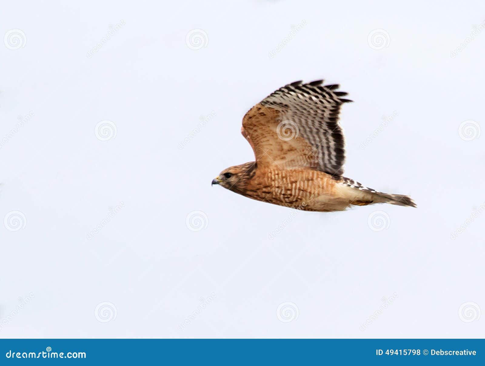 Download Roter geschulterter Falke stockfoto. Bild von braun, augen - 49415798