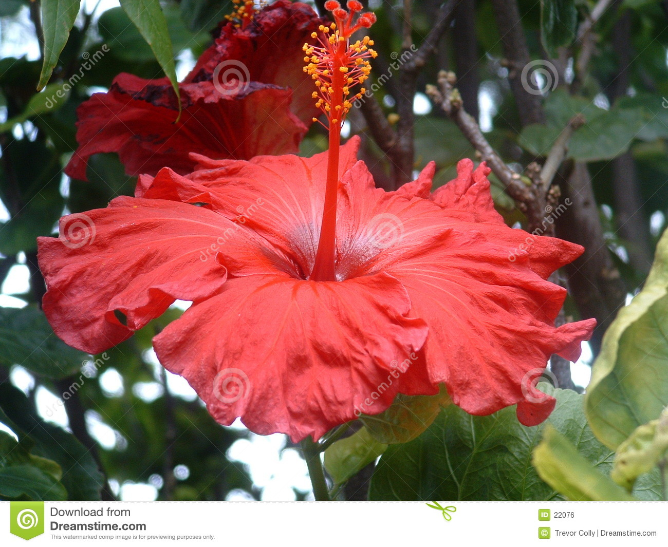 Roter Hibiscus