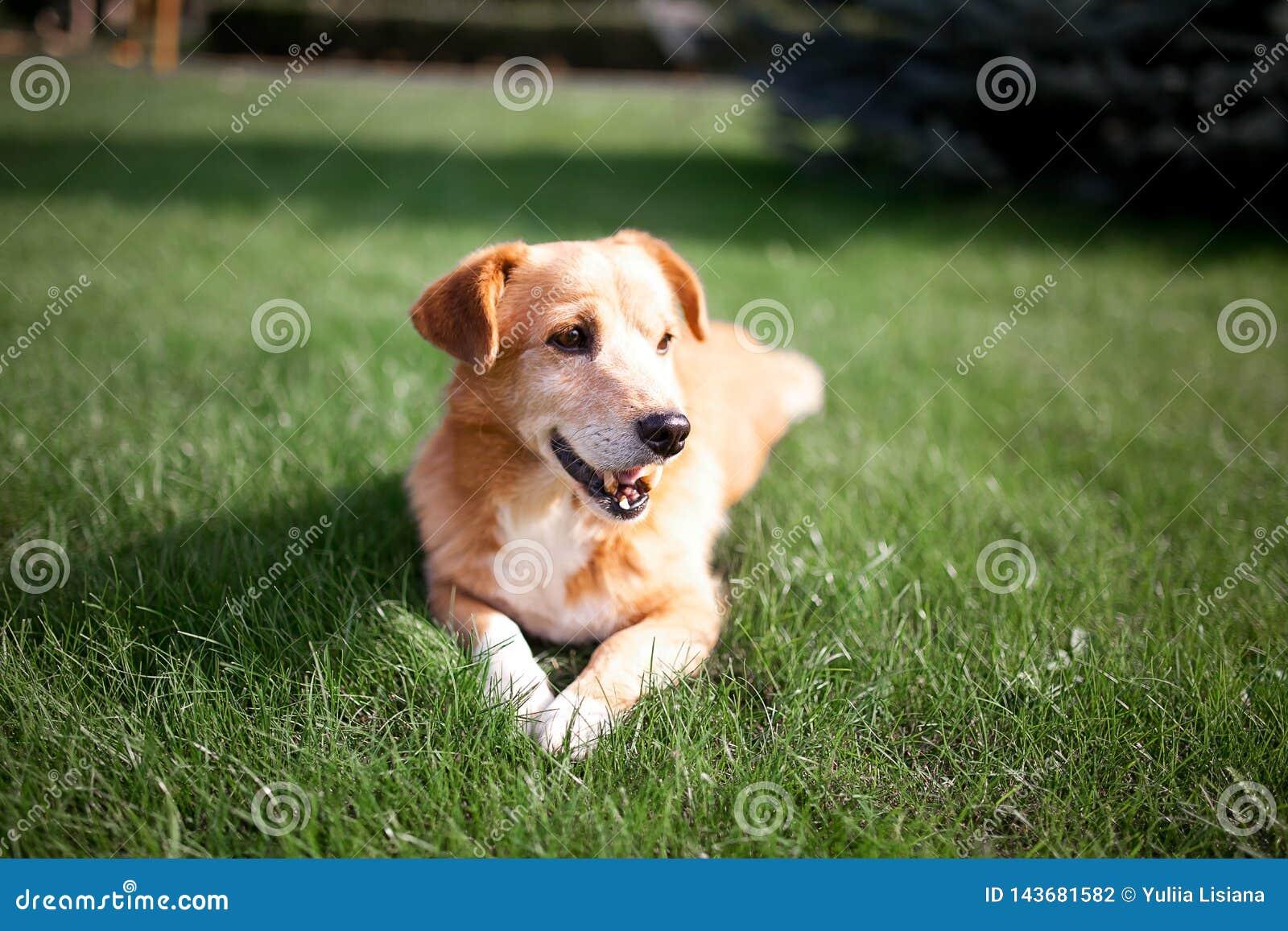 Roter Hund, der auf dem Gras liegt